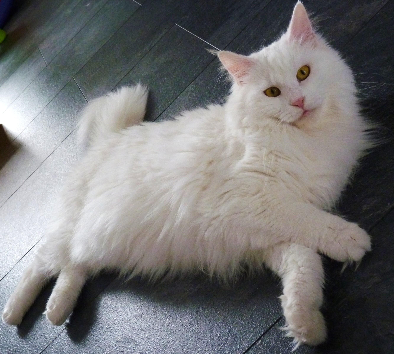 Мейн кун белый кот фото