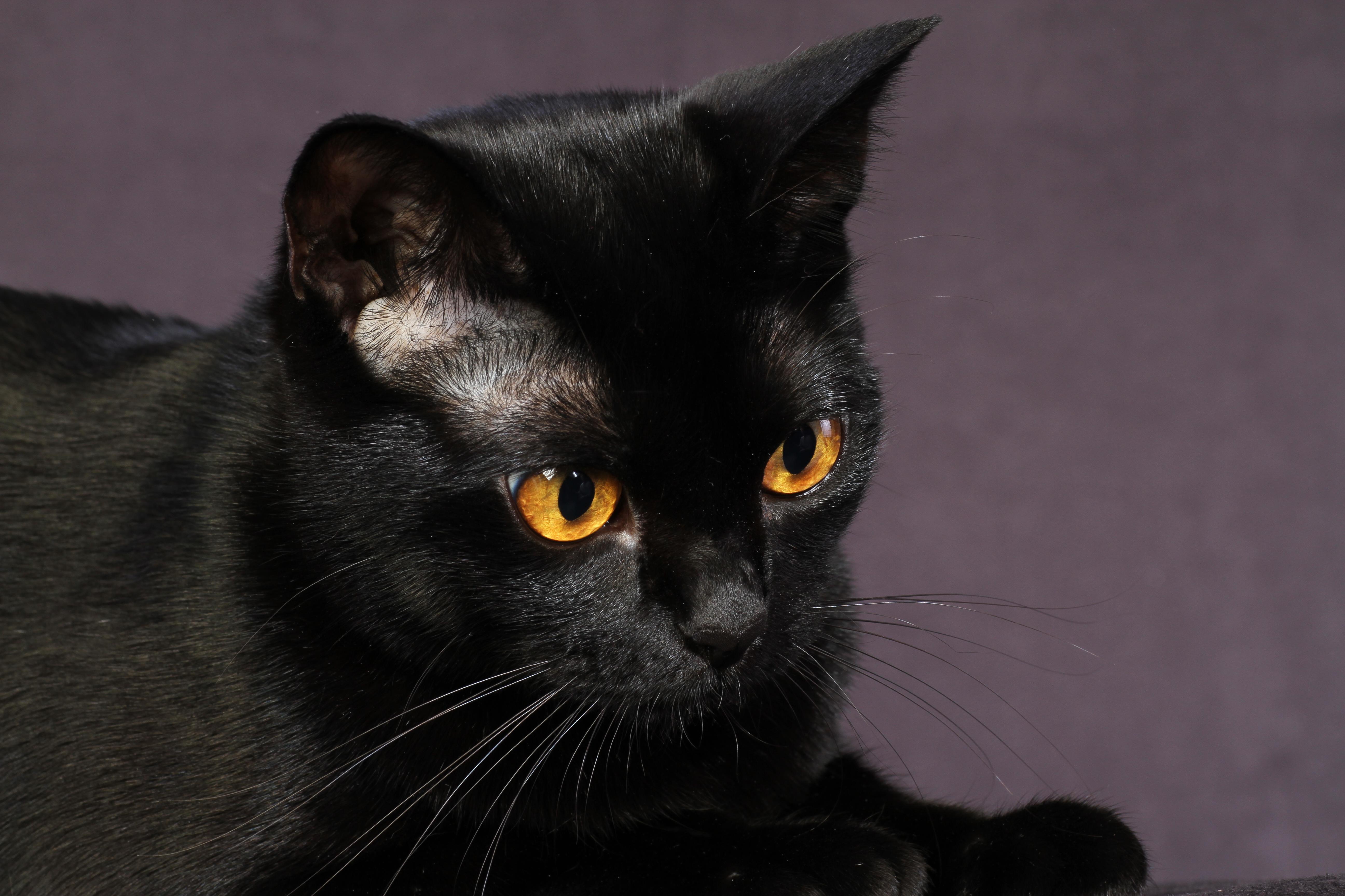 black cat breeds - HD5184×3456