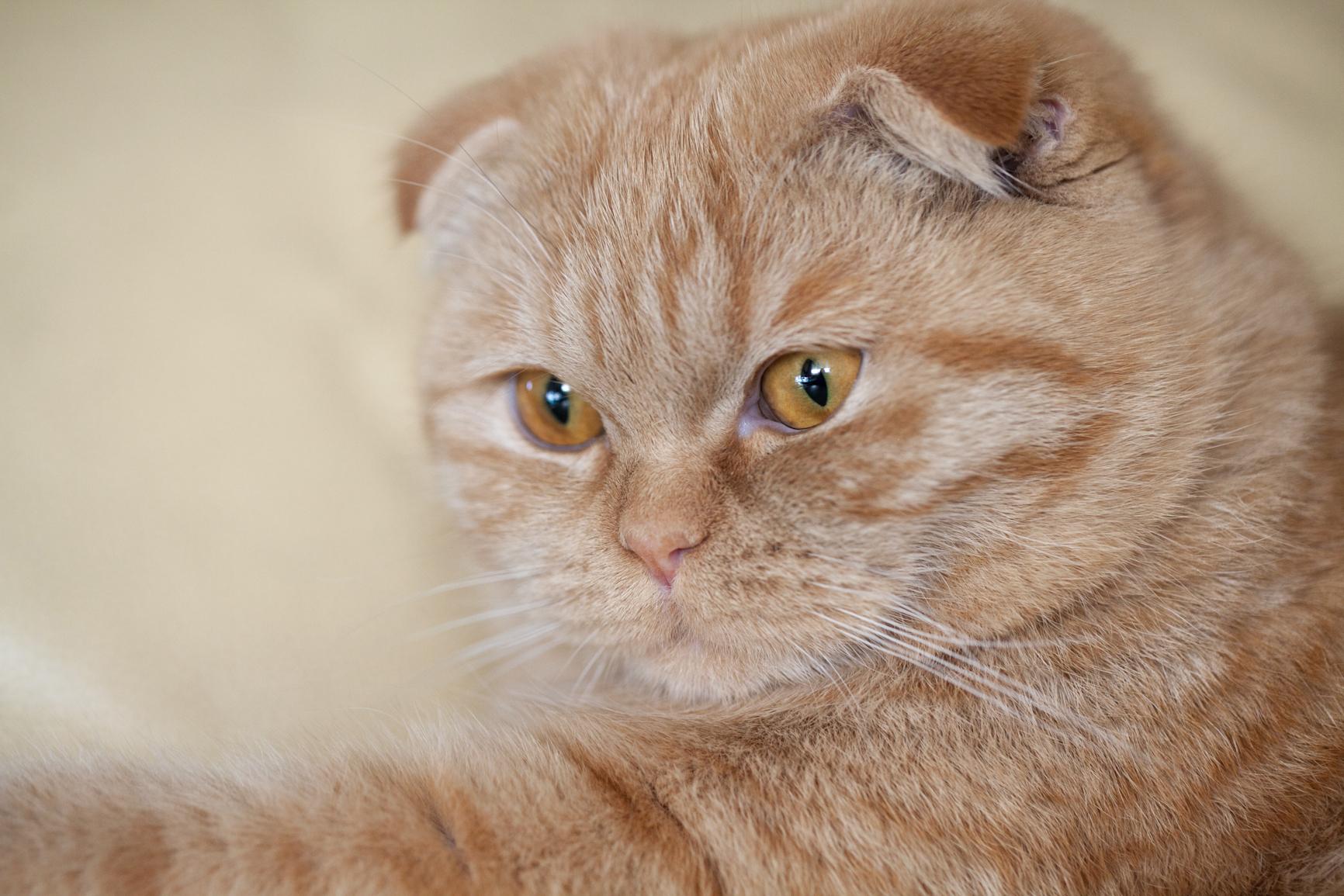 Рыжие шотландцы коты фото