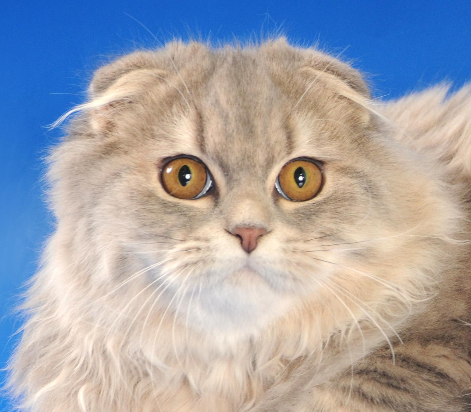 Кот шотландский пушистый