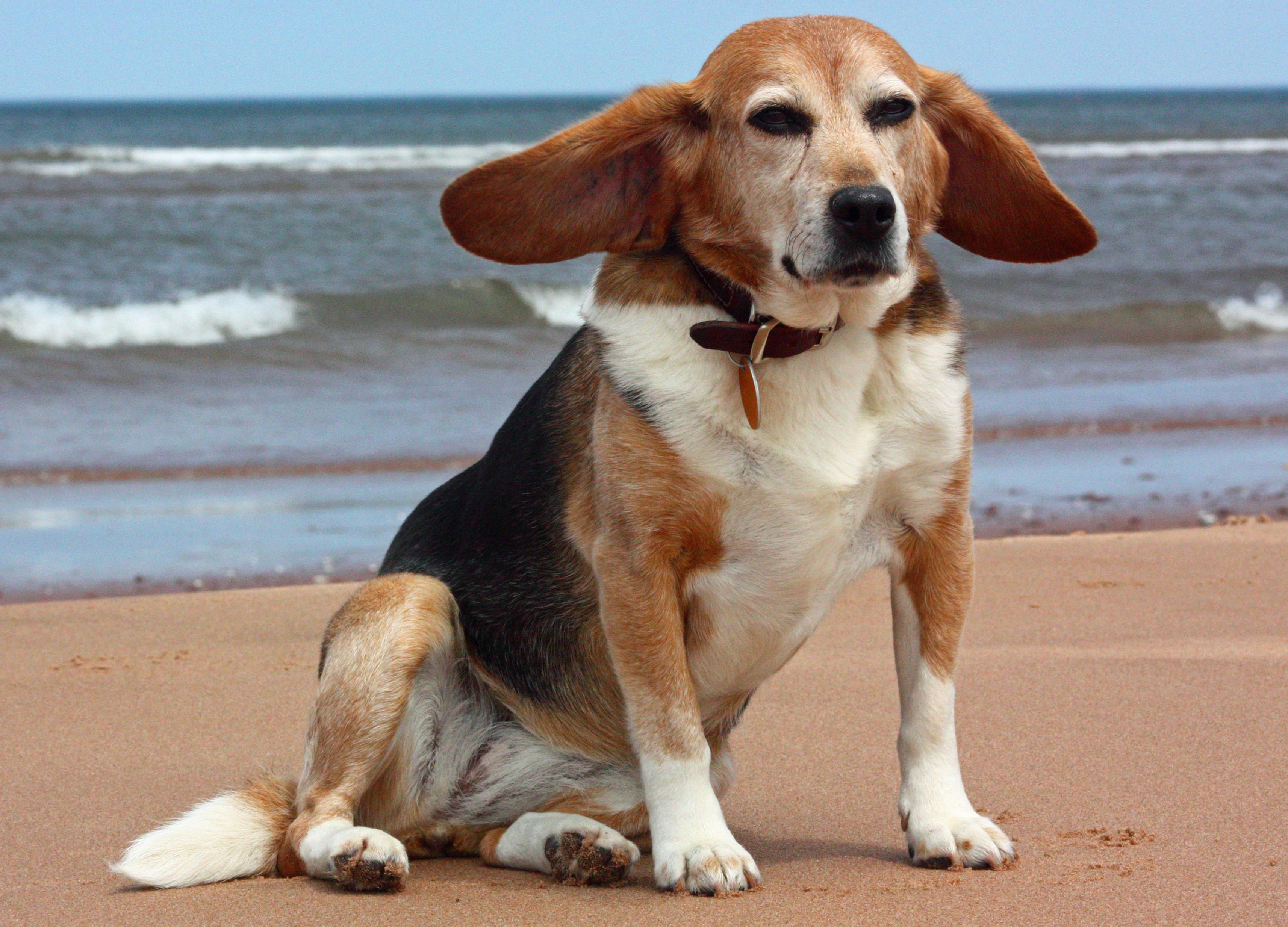 фото взрослой собаки бигль