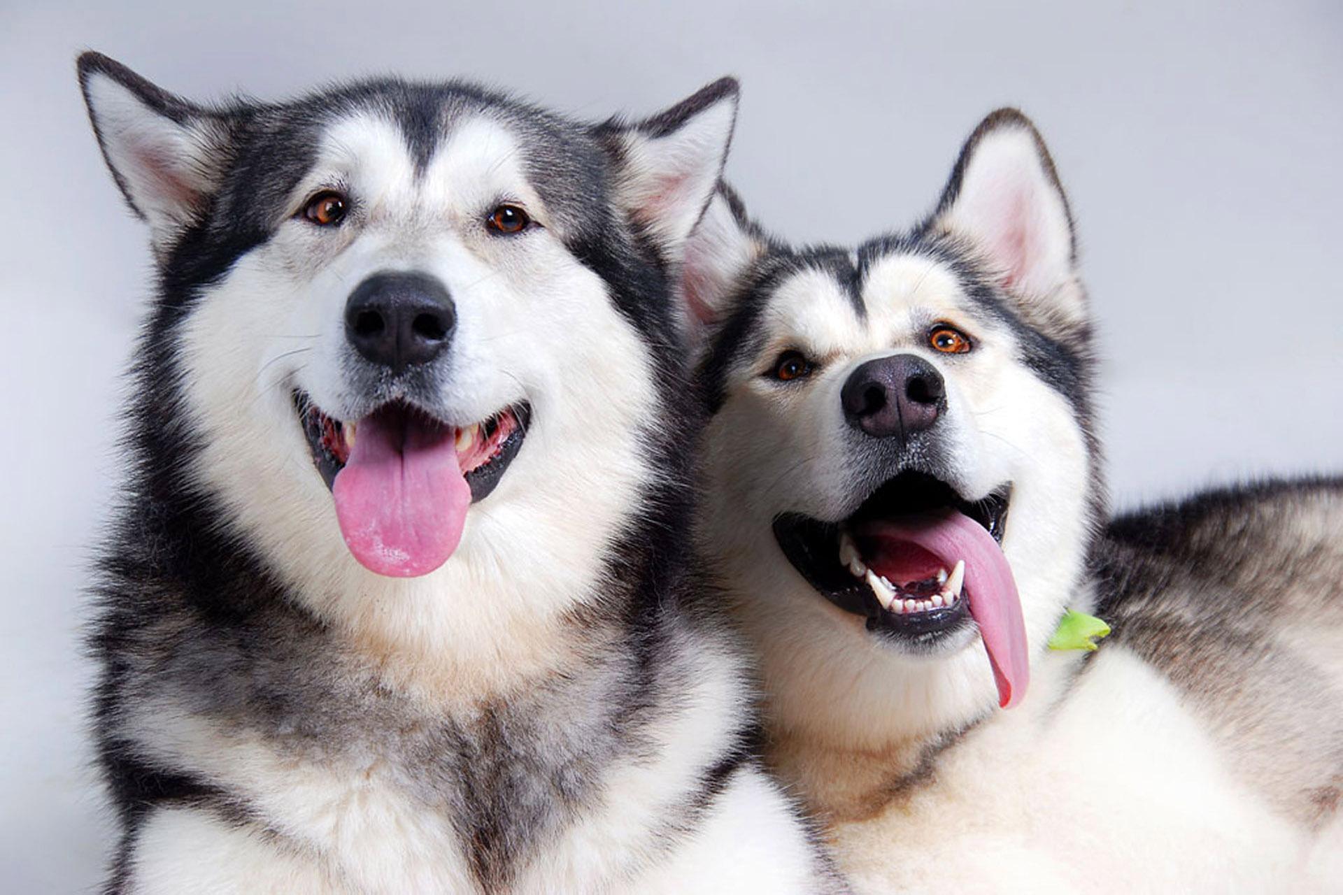 обои для рабочего стола собаки маламуты № 626318 без смс