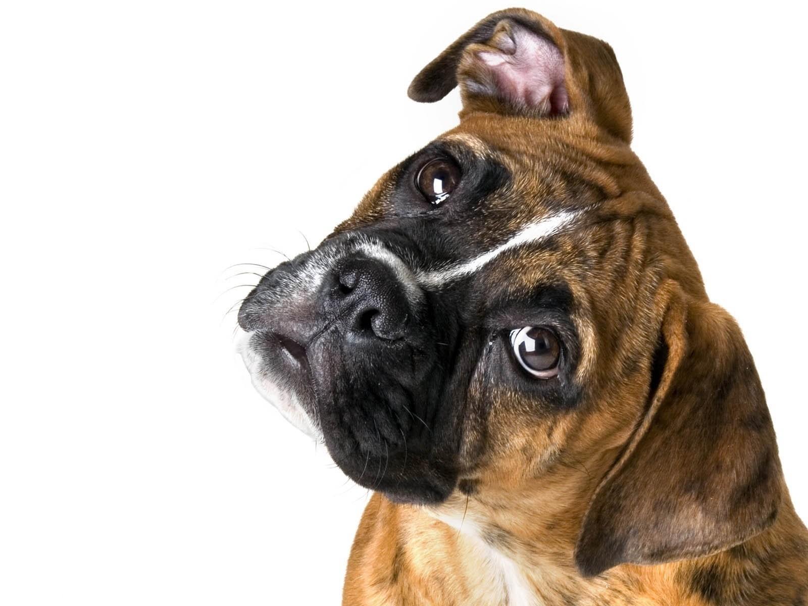 Cute Boxer Puppies Wallpaper Милый бо...