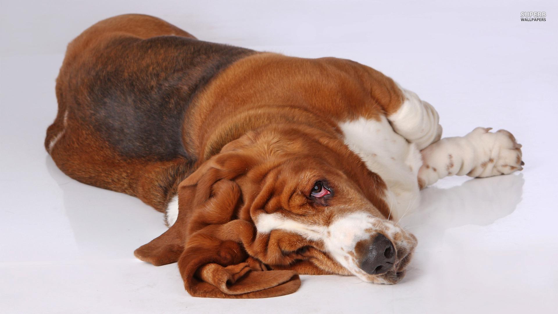 basset hound puppies wallpaper - photo #33