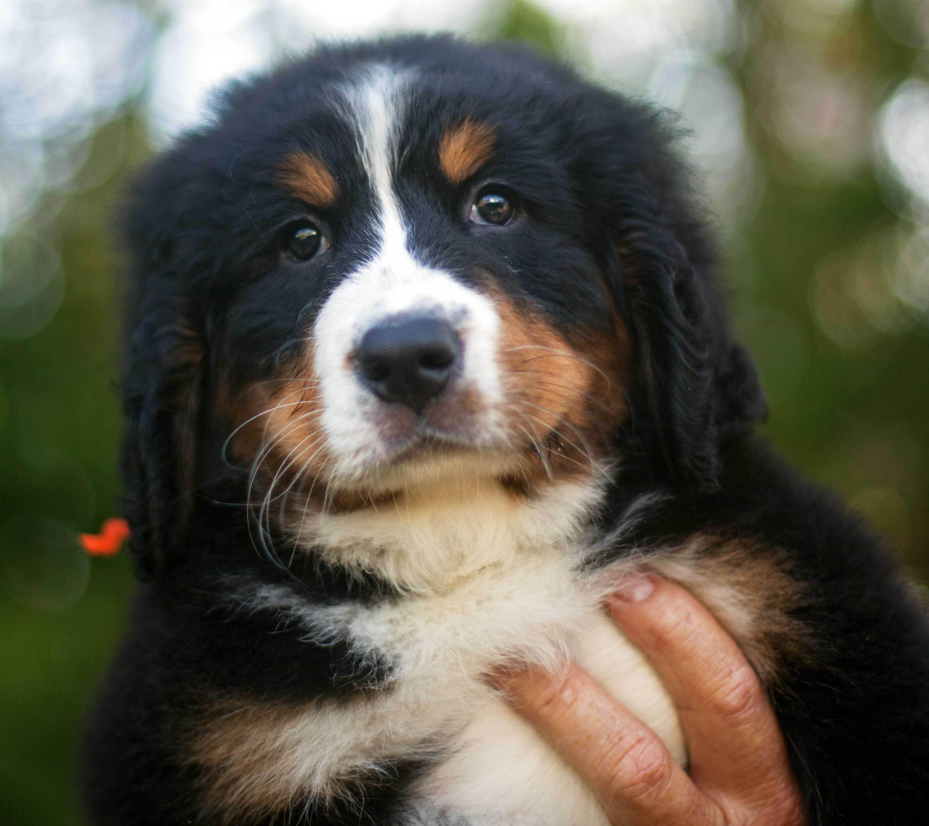 Portrait Of A Beautiful Bernese Mountain Dog Puppy