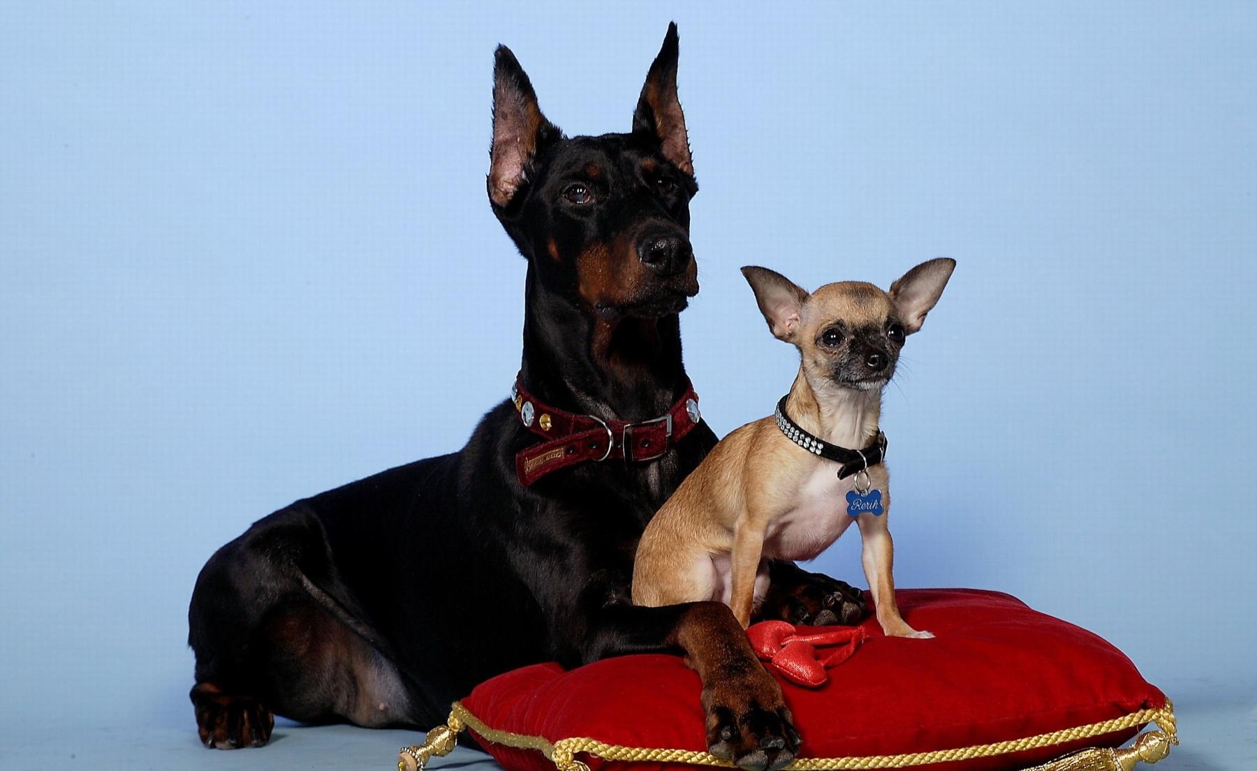 Обои для рабочего стола собаки доберманы