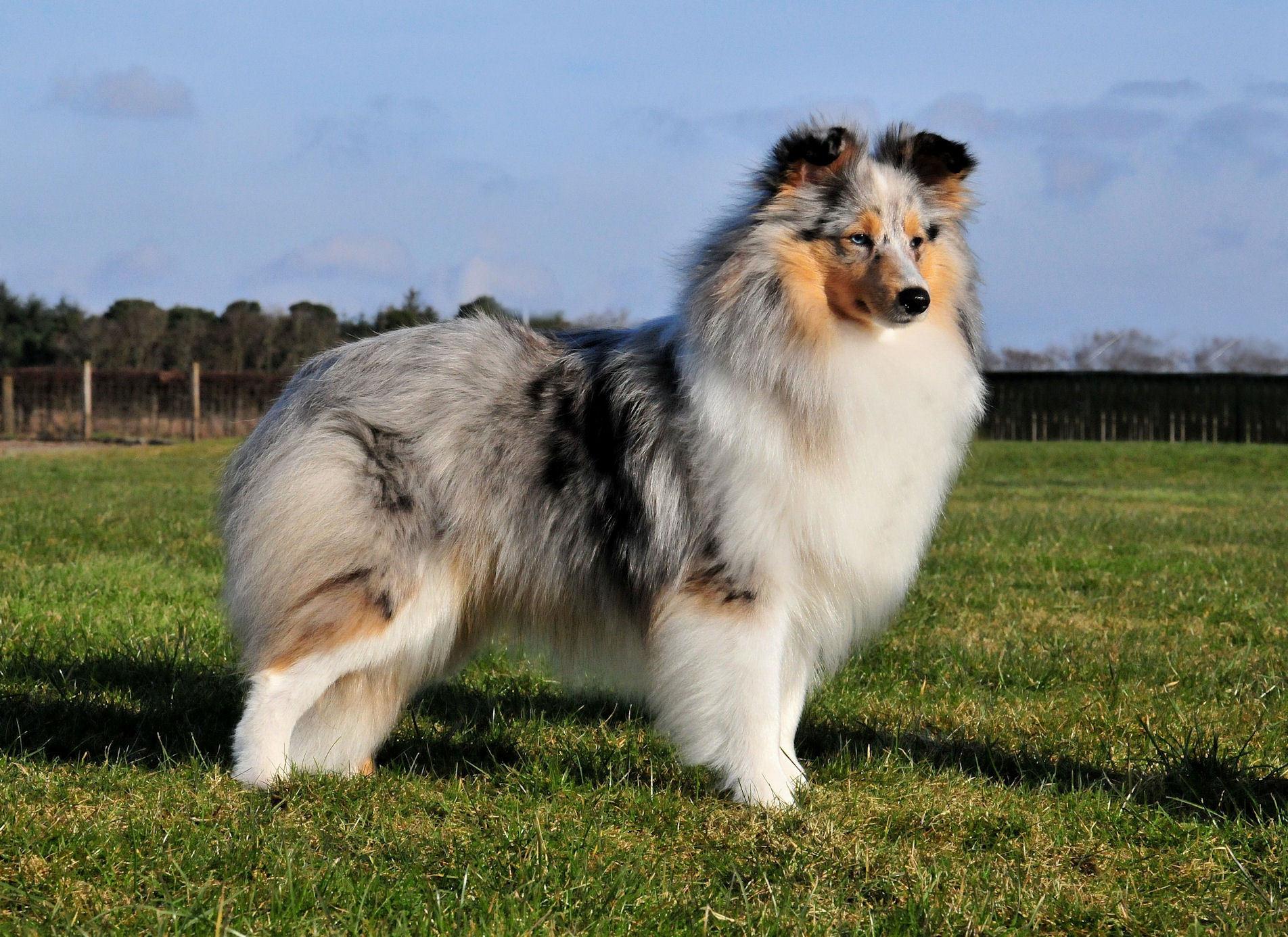 шелти фото собак