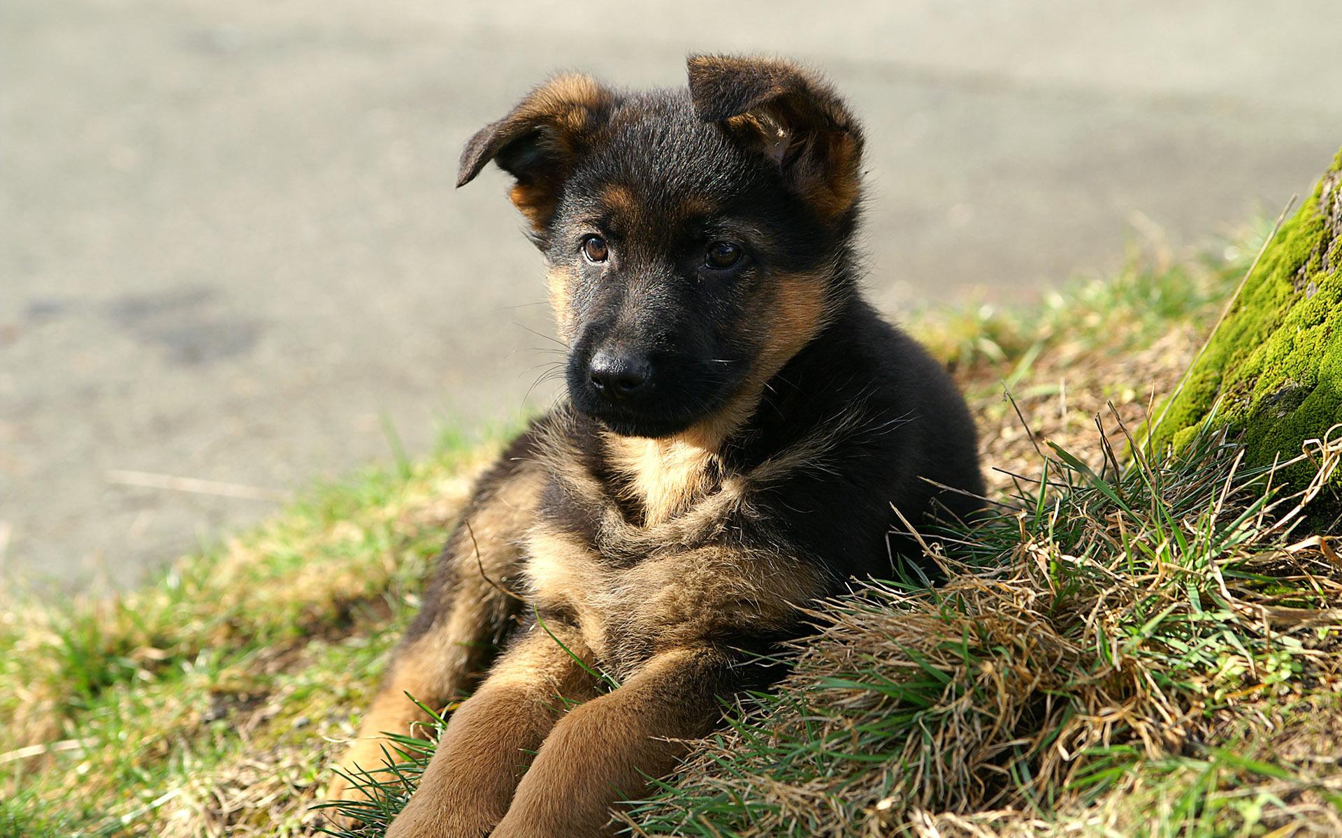 Овчарка щенок фотографии