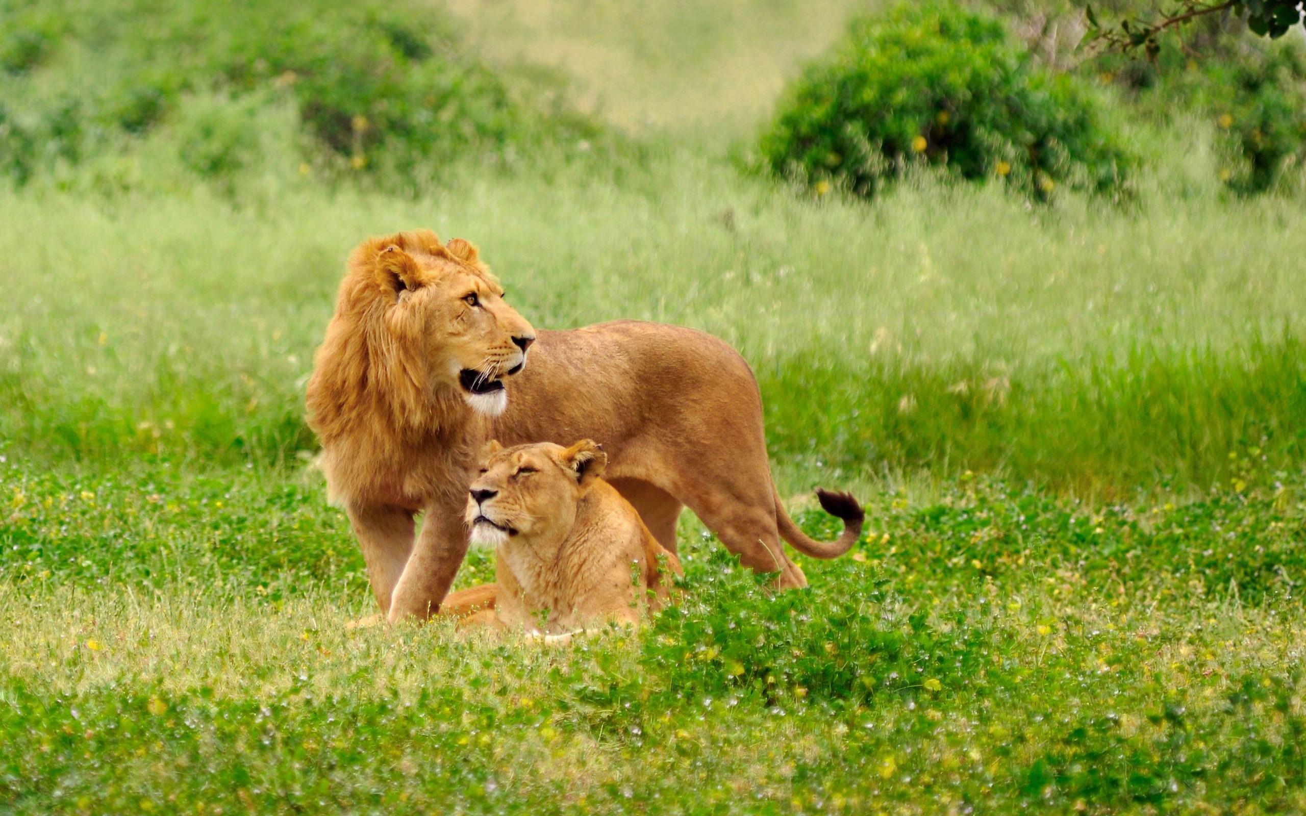 Lion family wallpaper - photo#47