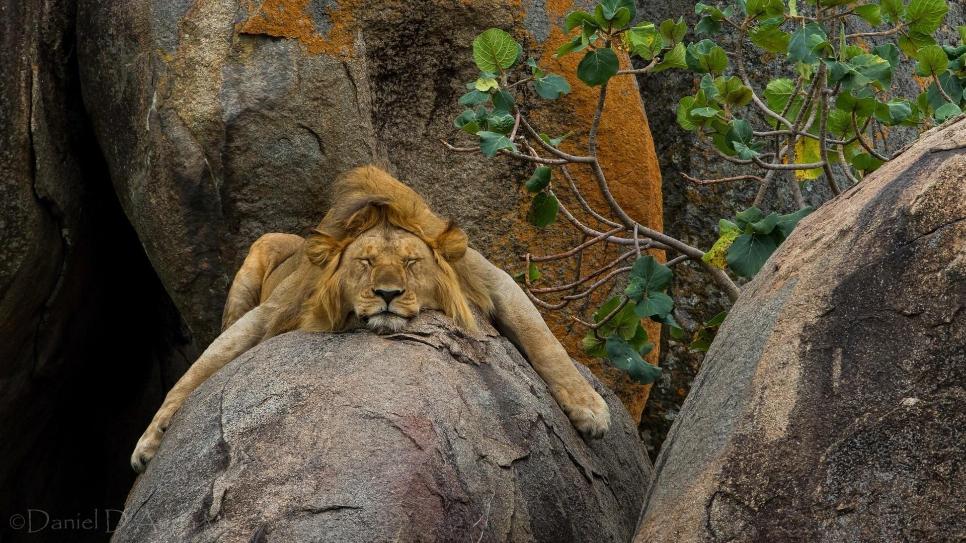 Popular Wallpaper Lion Facebook - Animals___Wild_cats__038814_  Picture_99335.jpg