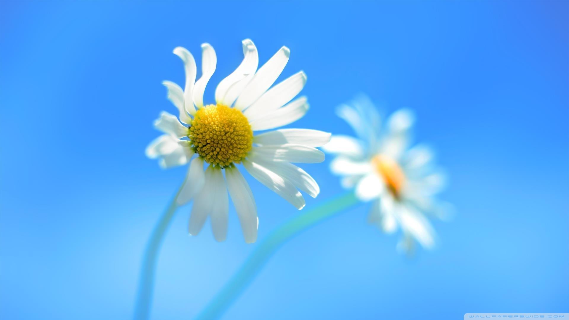 Скачать бесплатно обои на рабочий стол цветы полевые