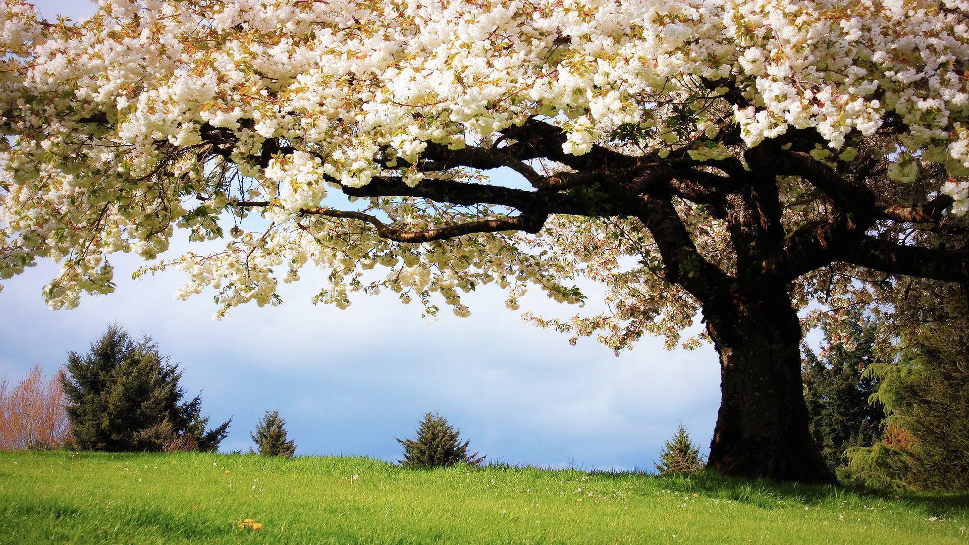 обои цветущие деревья для рабочего стола № 431648  скачать
