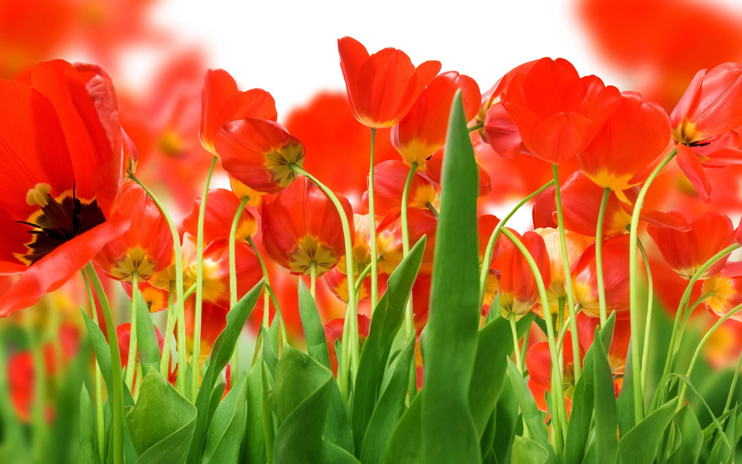 Картинки красных тюльпанов, днем рождения