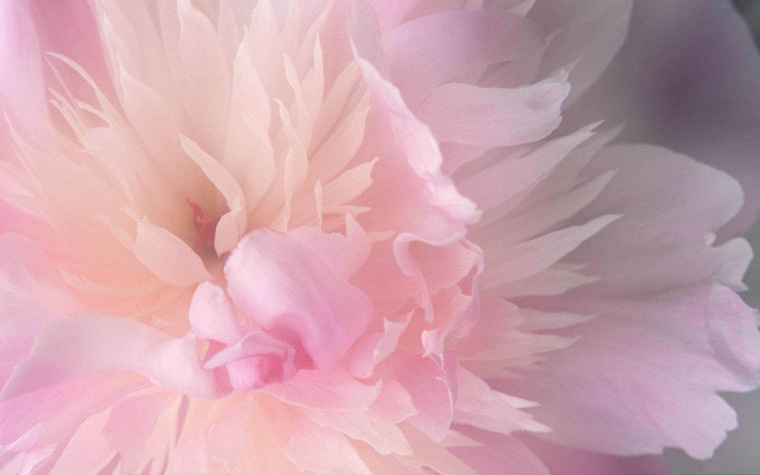 Обои нежный розовый цветок