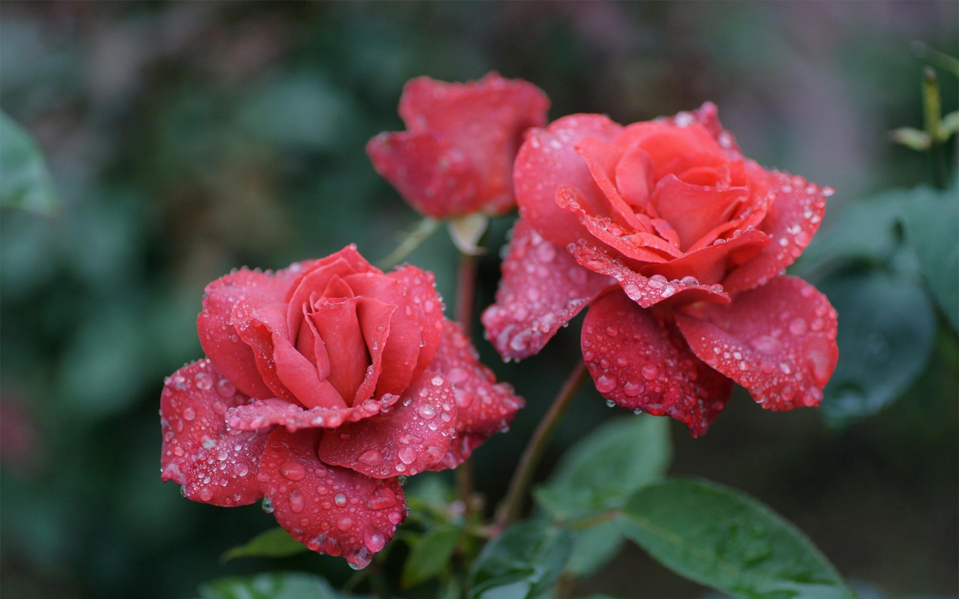 http://www.zastavki.com/pictures/originals/2013/Nature___Flowers_Rose_in_the_morning_dew_042326_.jpg