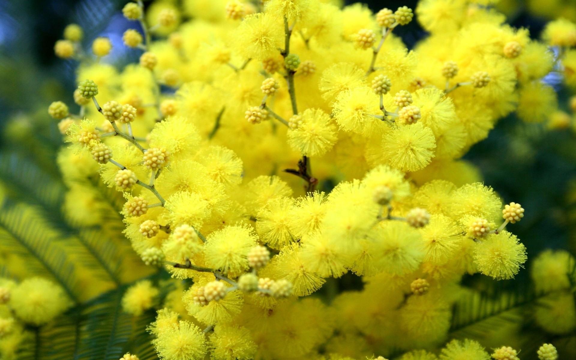 Открытка цветок мимоза, юбилеем маме бабушке