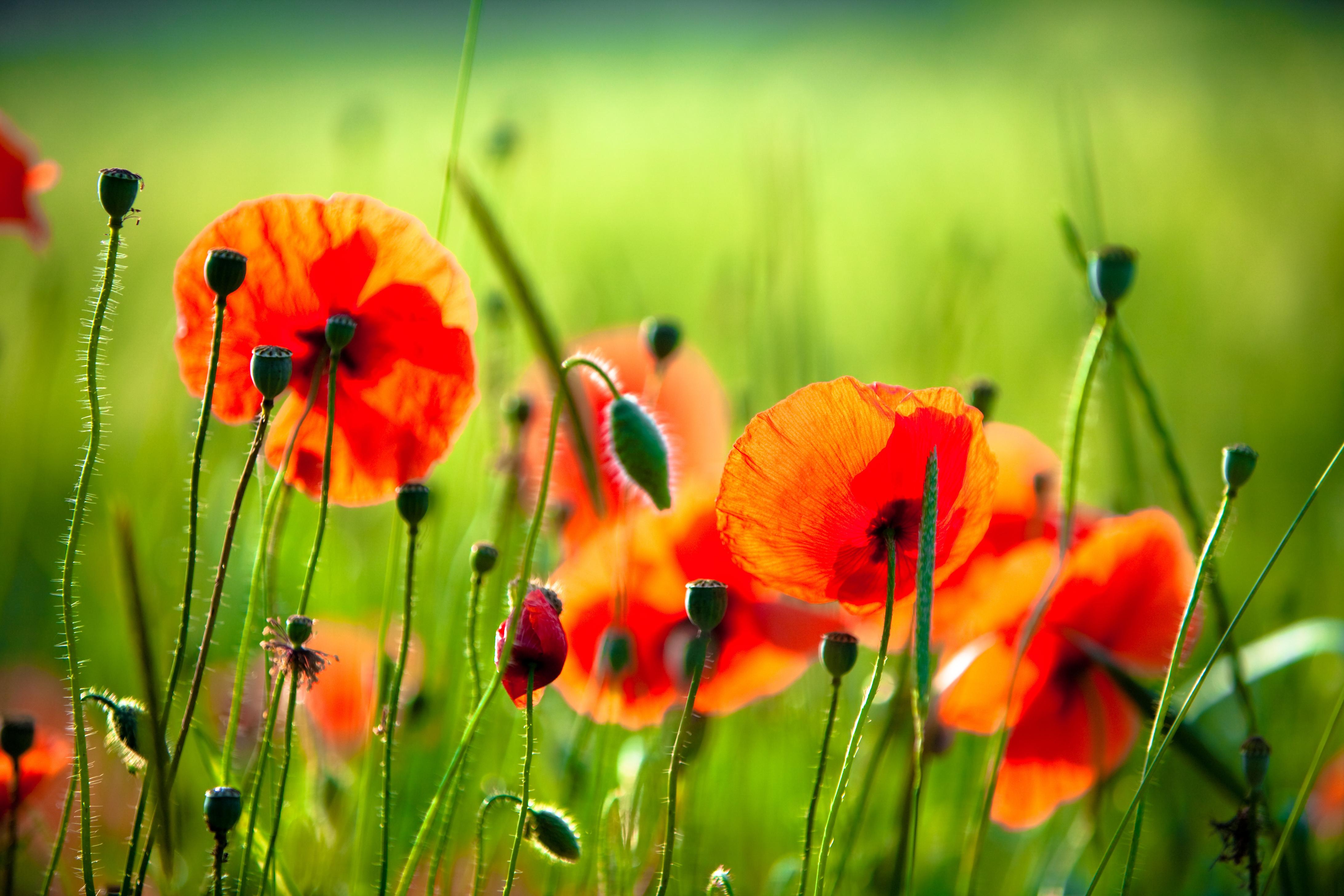 Обои полевые цветы маки июль