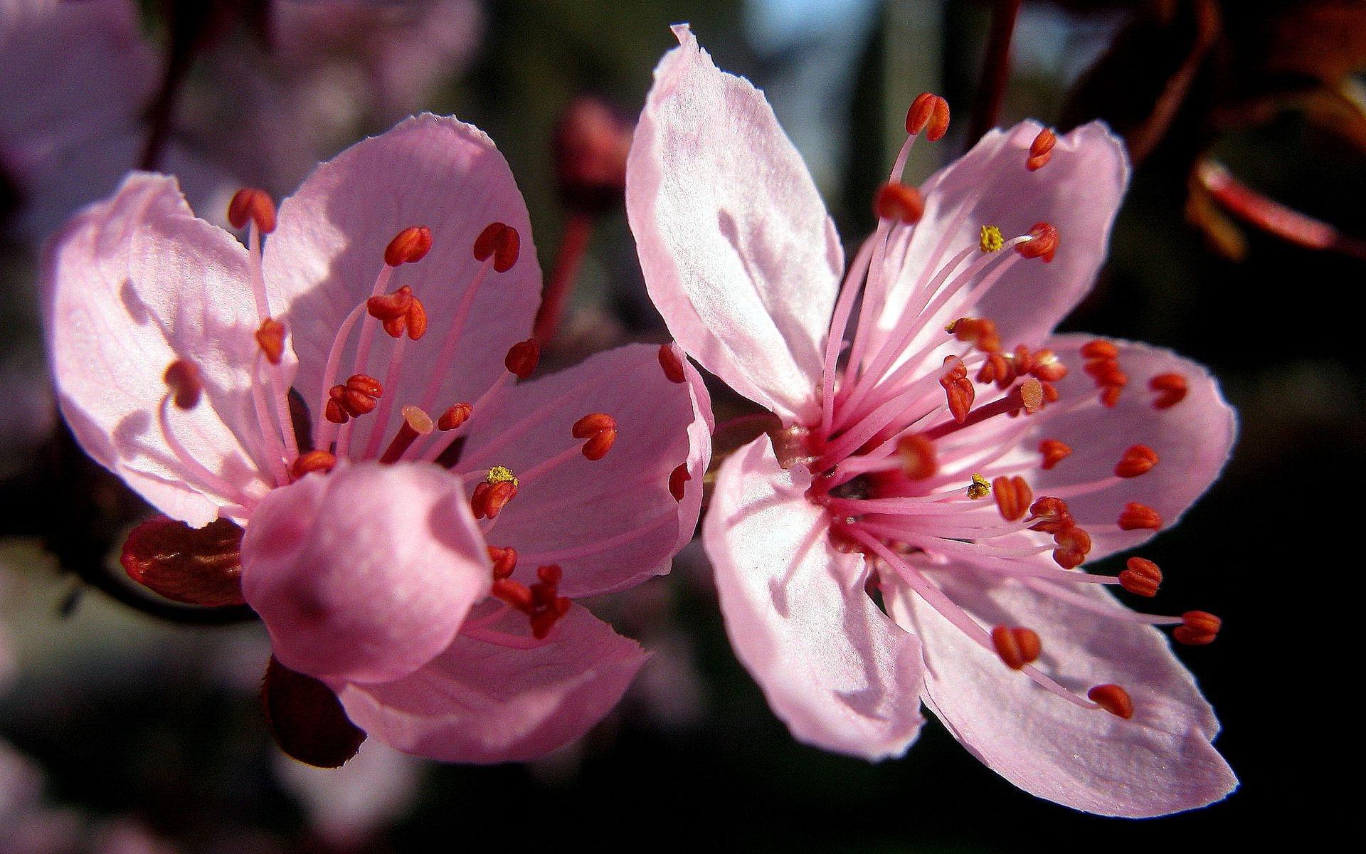 тобою цветы вишни фото картинки берега два