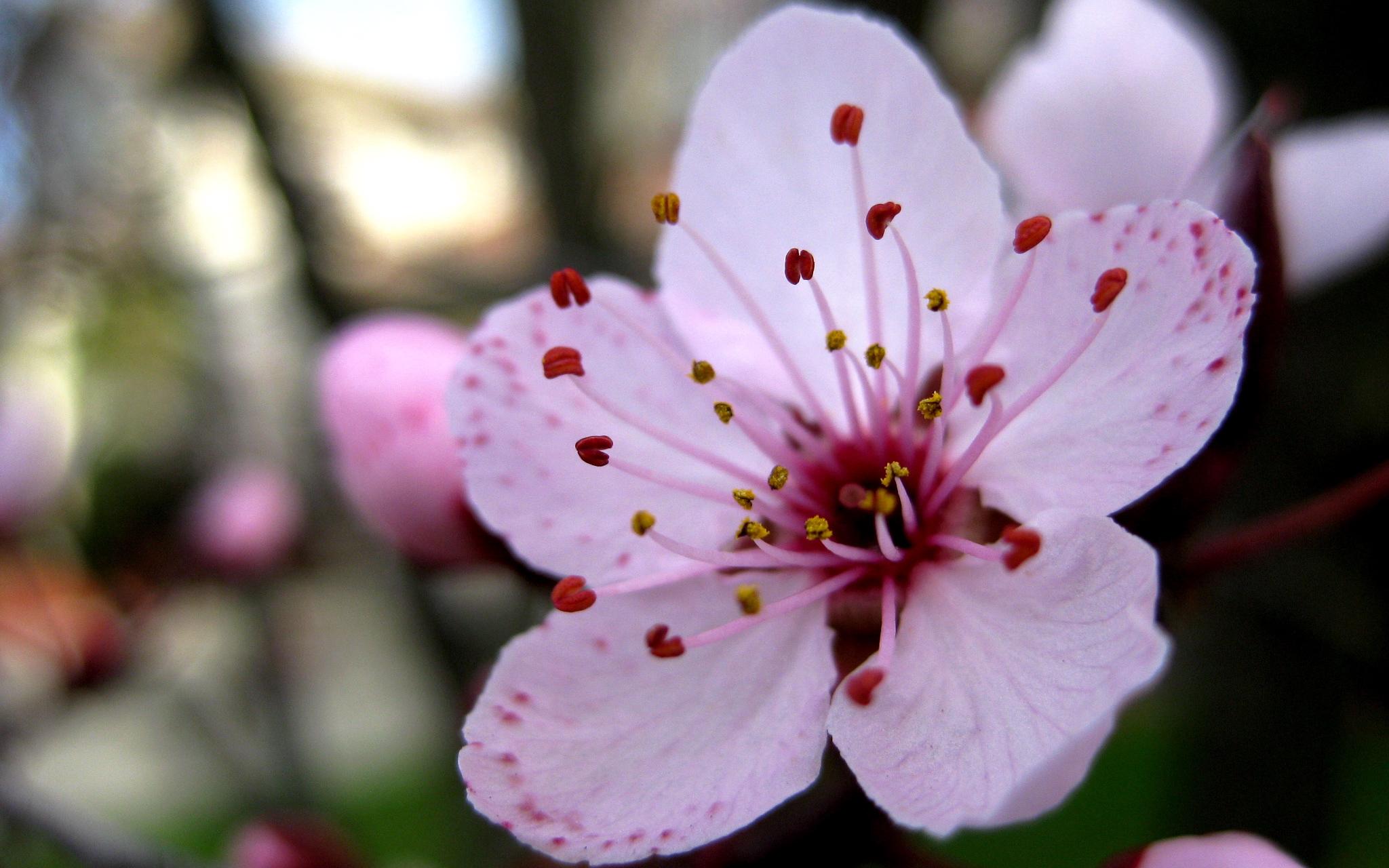Фото цветка вишни