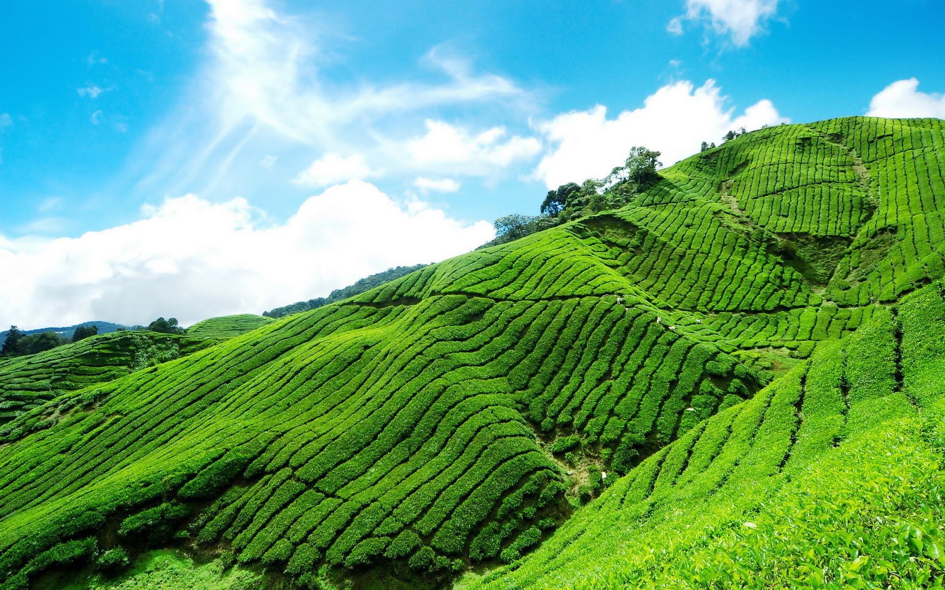 Plantation Wallpaper Plantation of Tea in The