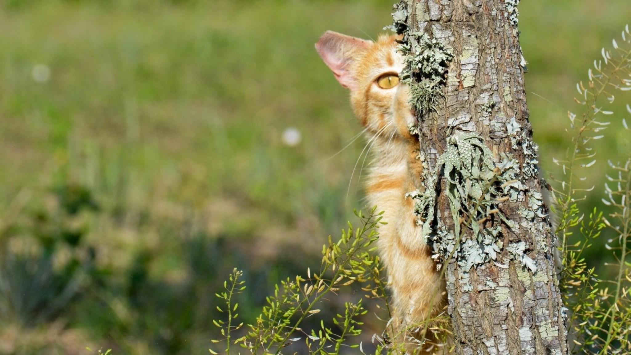 domestic bengal cats