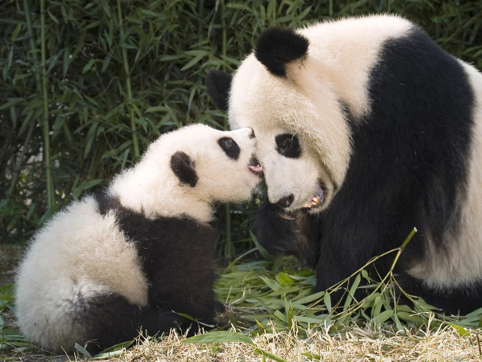 Скачать обои для рабочего стола панда
