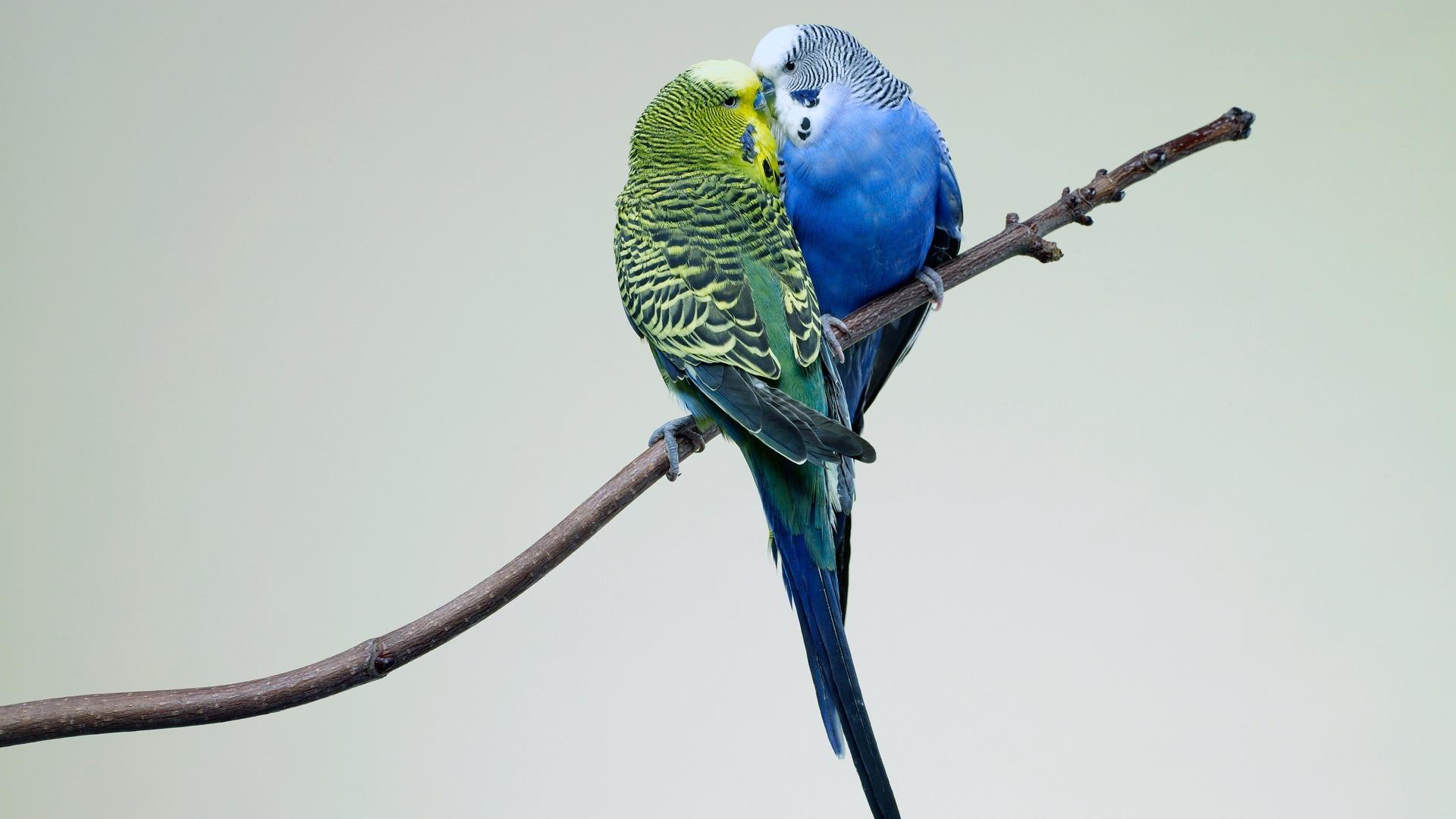 Обои для рабочего стола волнистые попугайчики