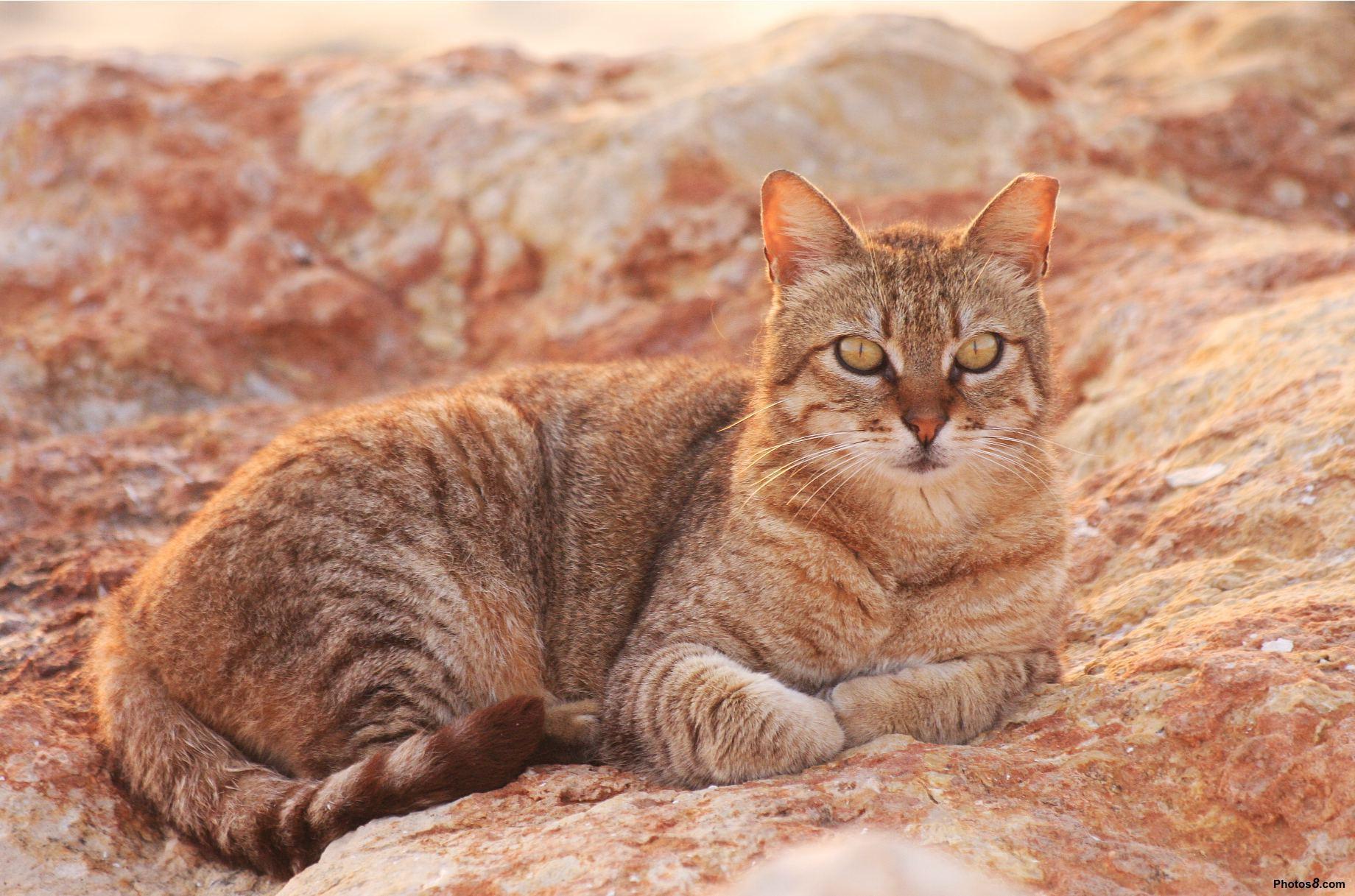 Кот австралийский мист