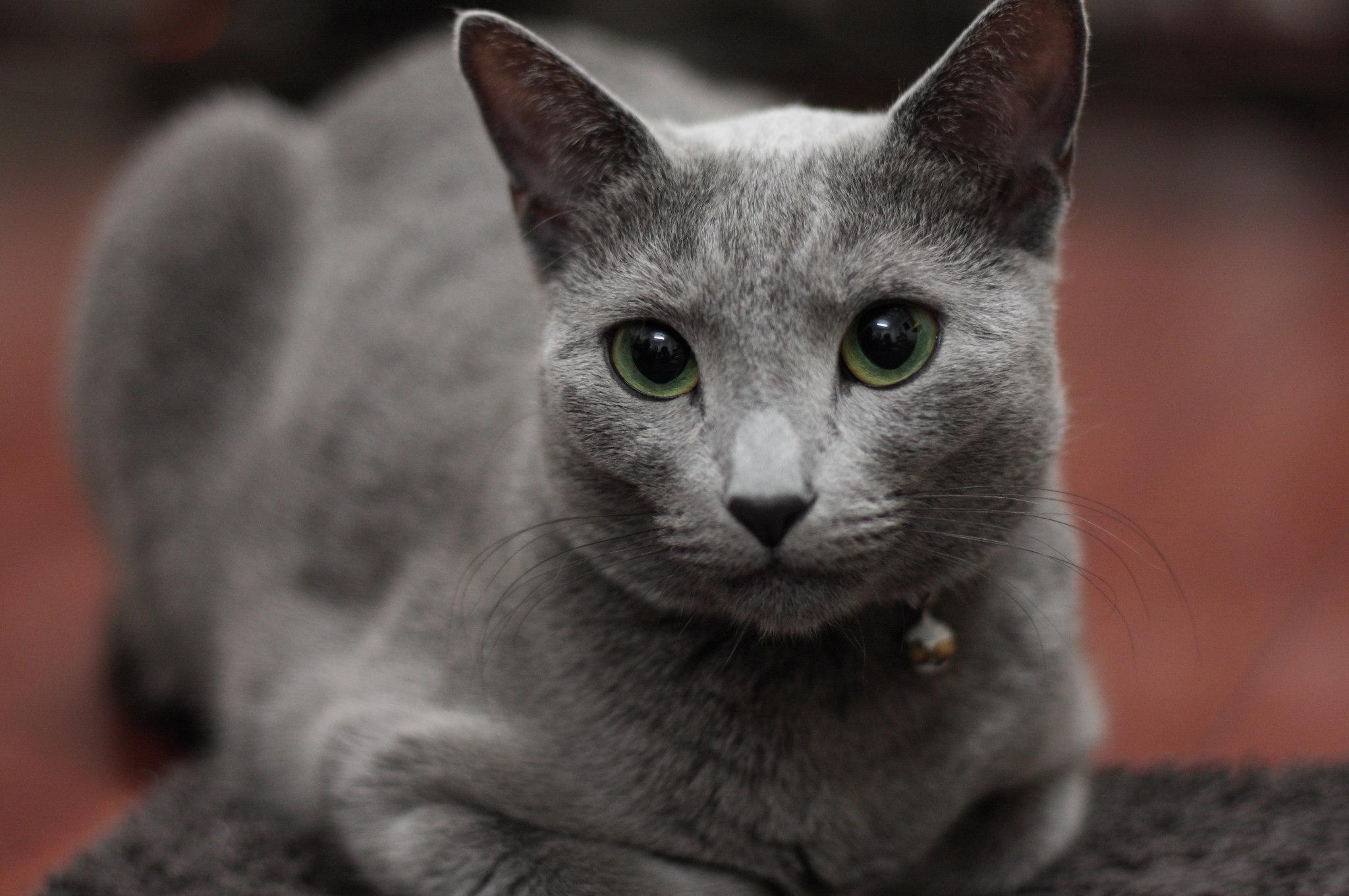 russian blue cat - HD2048×1361
