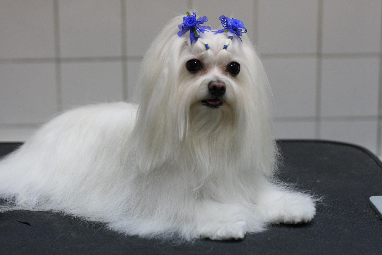 http://www.zastavki.com/pictures/originals/2014/Animals___Dogs_Bichon_with_ornaments_084573_.jpg