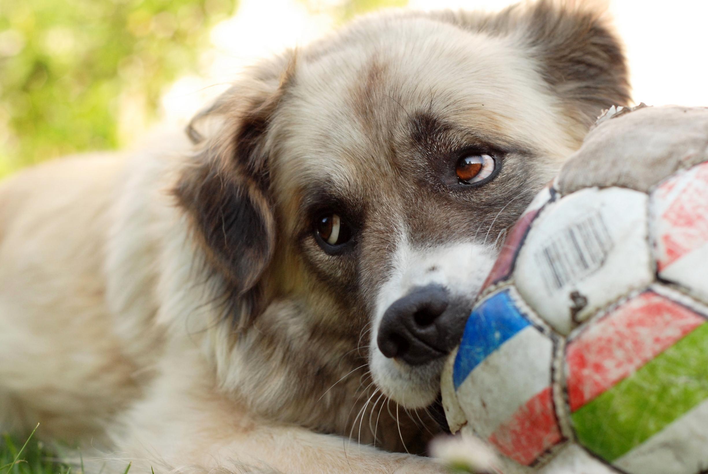Собака с мячом - обои для рабочего стола, картинки, фото