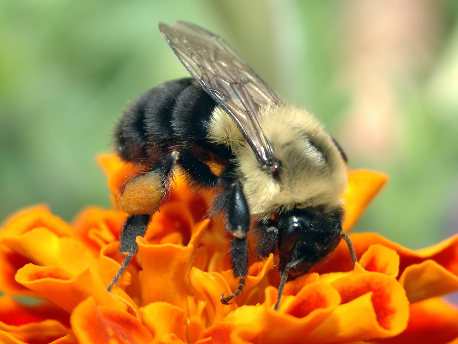 Пчела на оранжевом цветке - обои для ...: zastavki.com/rus/animals/insects/wallpaper-58348.htm