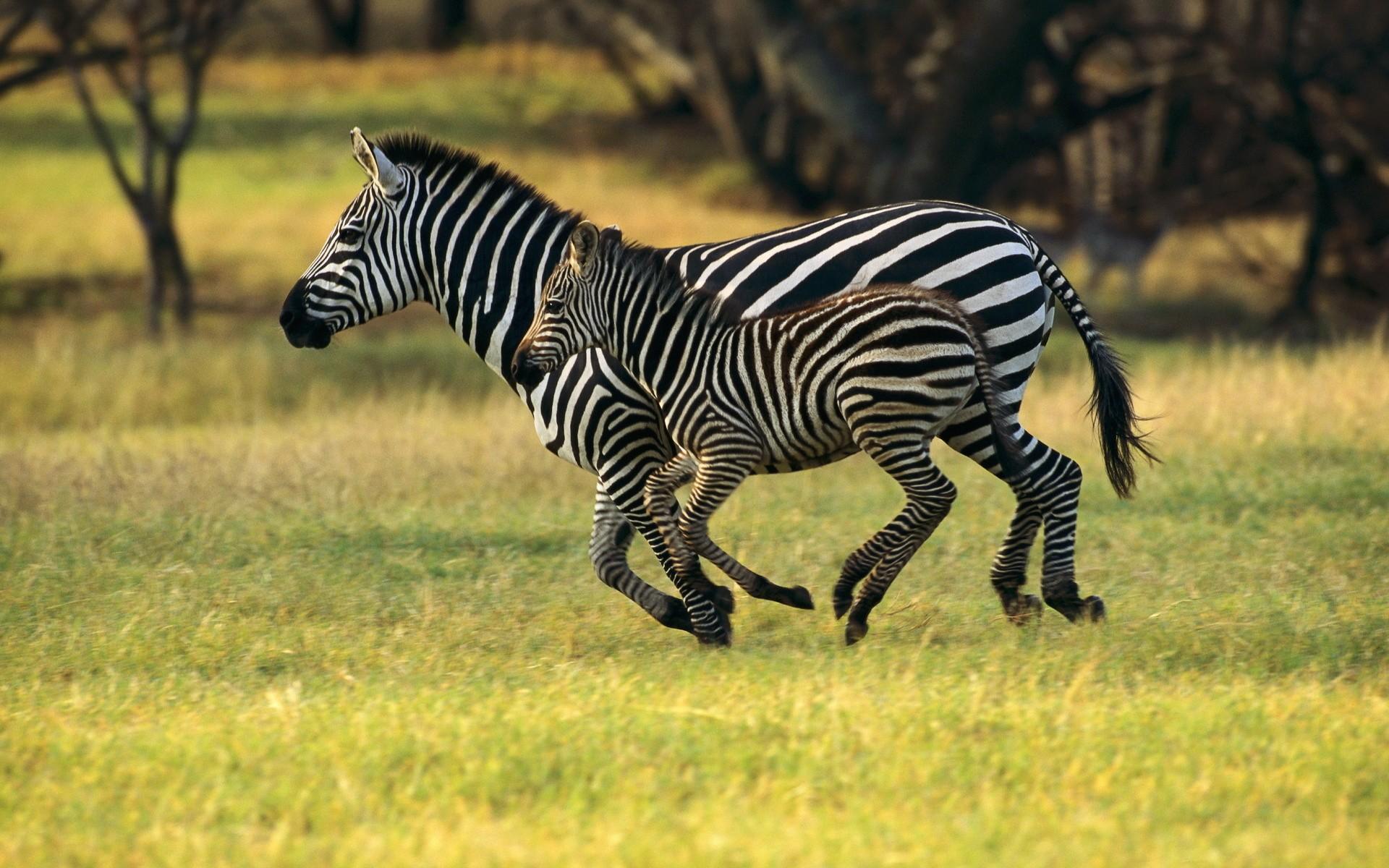 http://www.zastavki.com/pictures/originals/2014/Animals___Wild_artiodactyls_____Zebra_with_cub_081873_.jpg