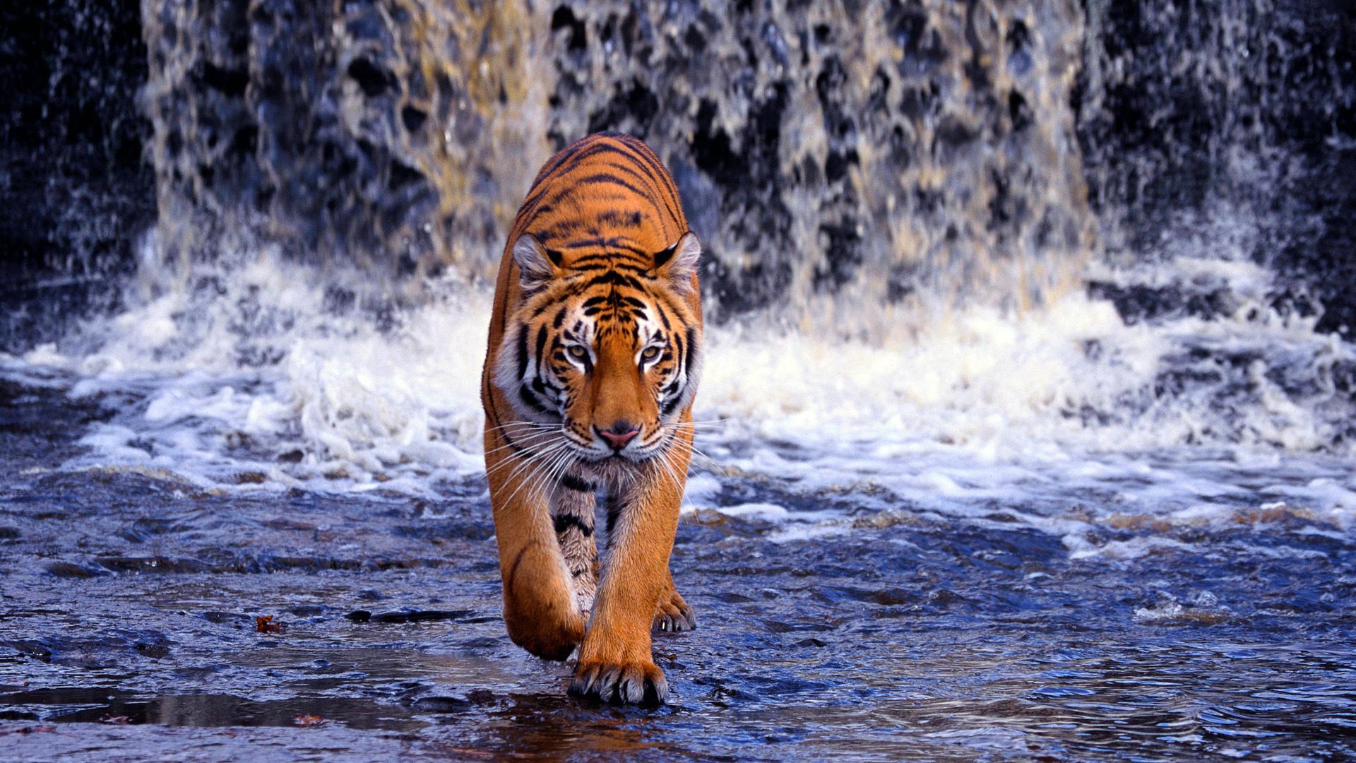 Fotos de portada tigres 26