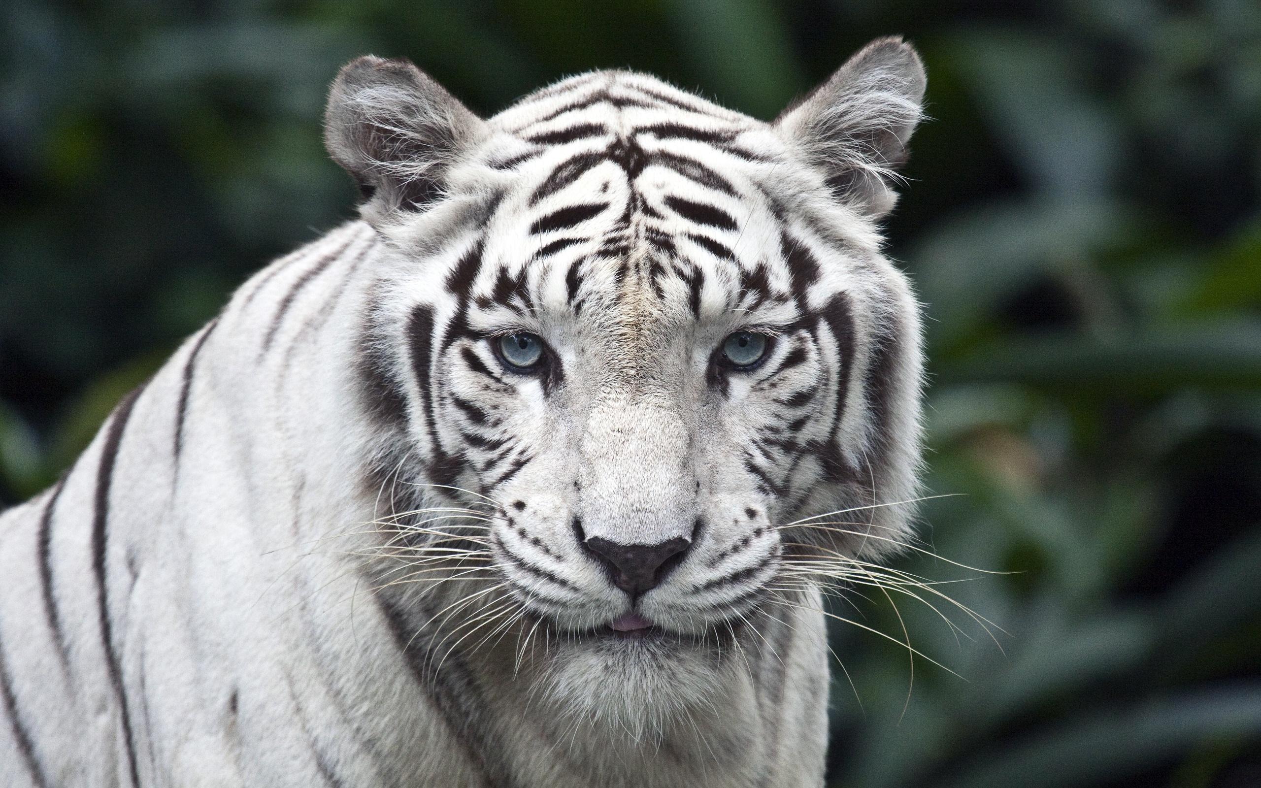 фото тигрица белая