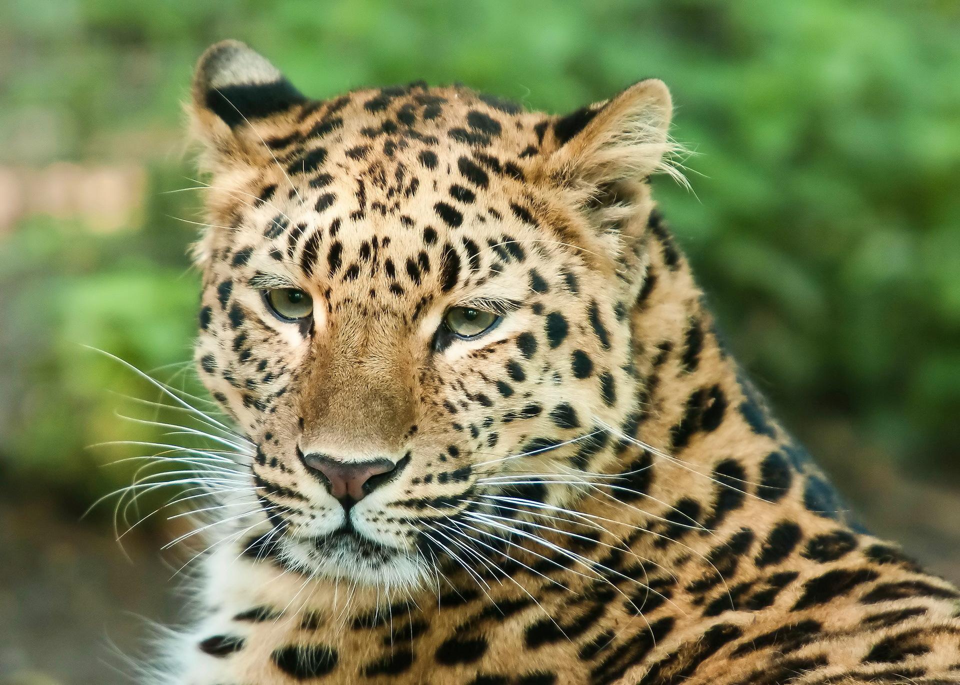 Спокойный взгляд леопарда - обои для рабочего стола ...  Взгляд Леопарда