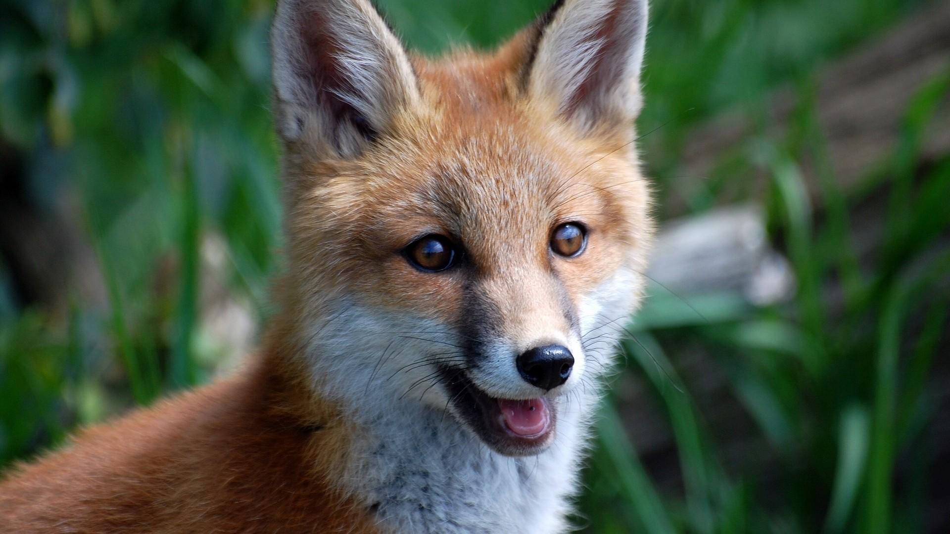 The Smiling Fox by thrumyeye on DeviantArt