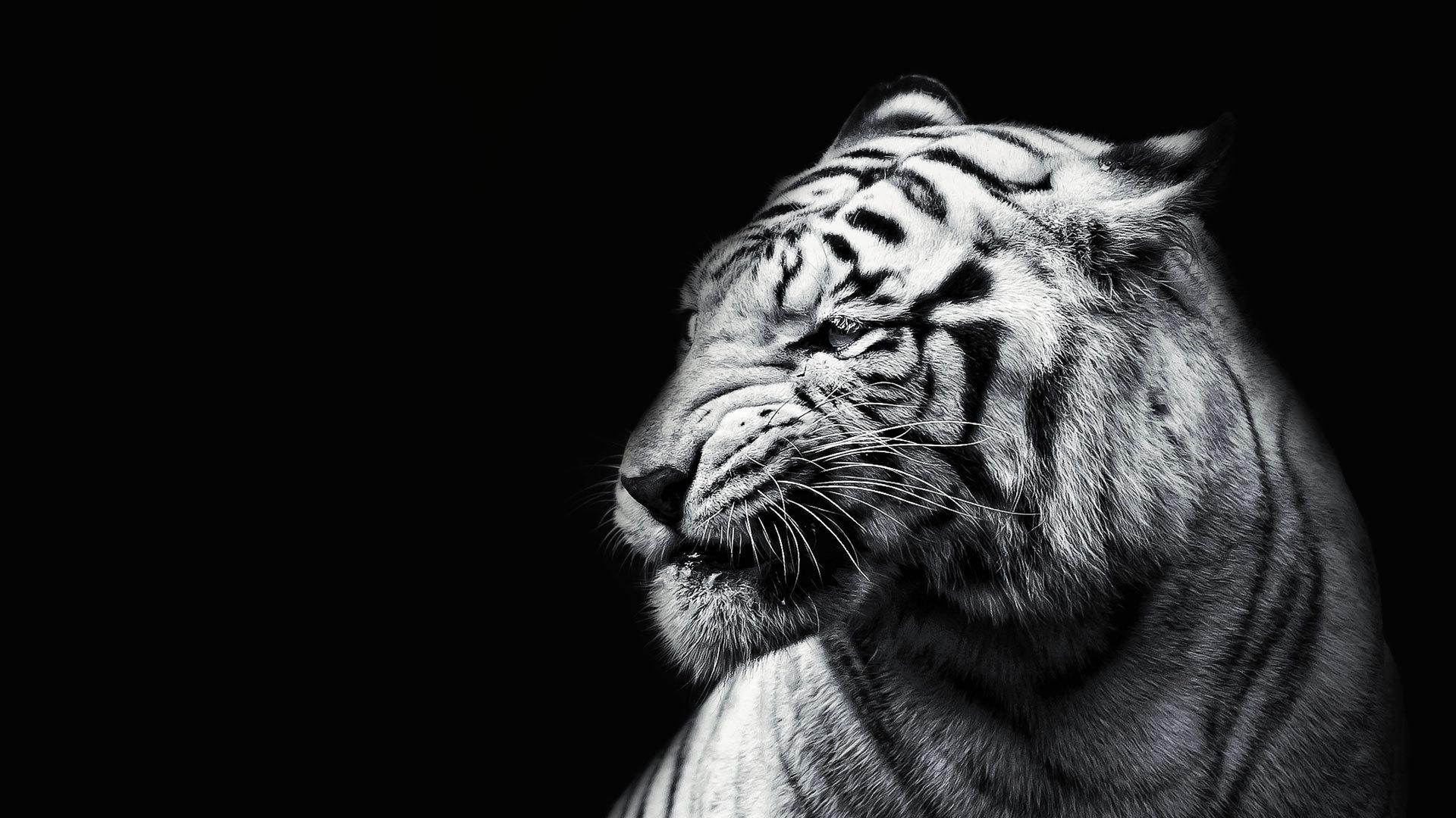 Картинки белого тигра на черном фоне