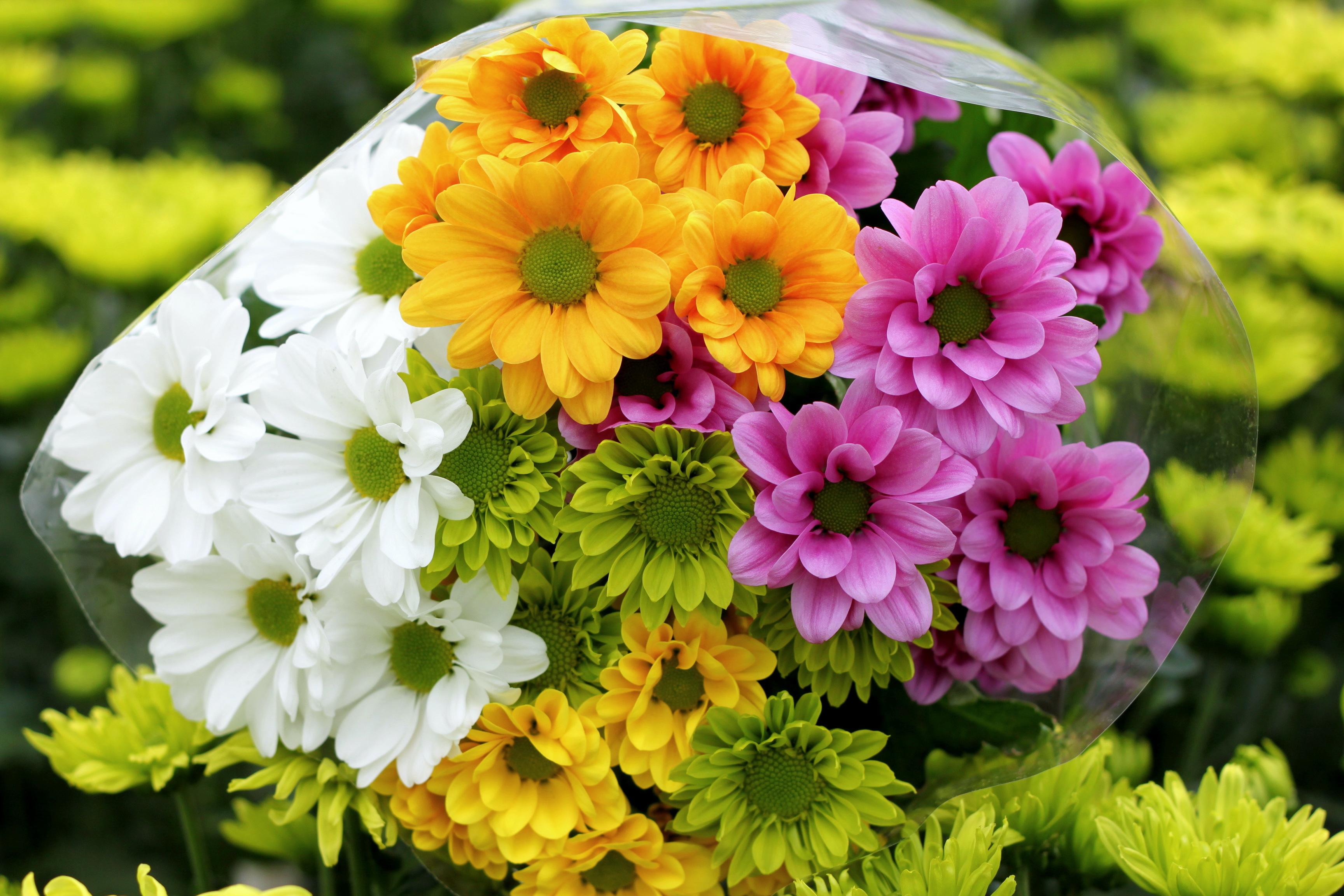 Картинки цветы хризантемы, смешные фото картинки