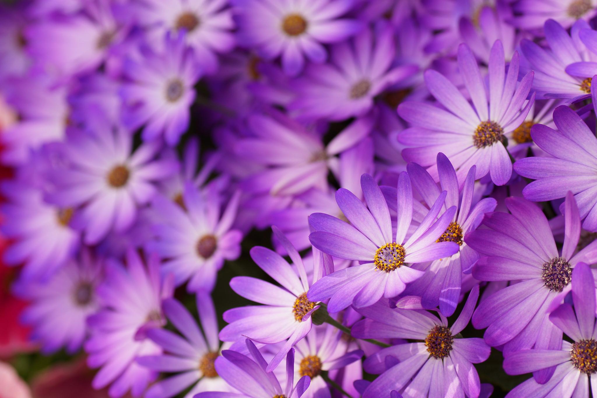 Beautiful daisy flowers in the garden wallpapers and images beautiful daisy flowers in the garden izmirmasajfo Choice Image