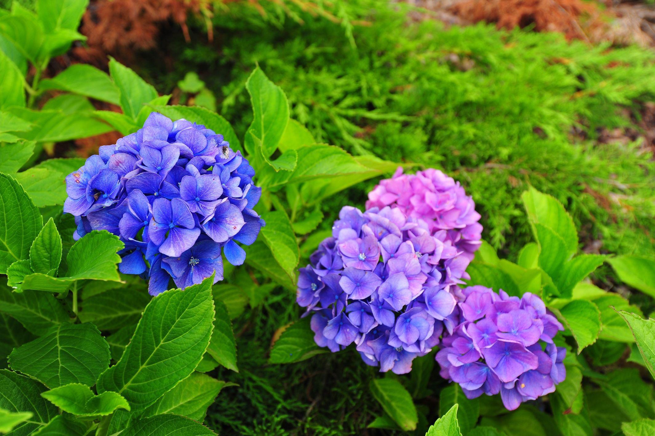 Beautiful Flower In The Garden Hydrangea