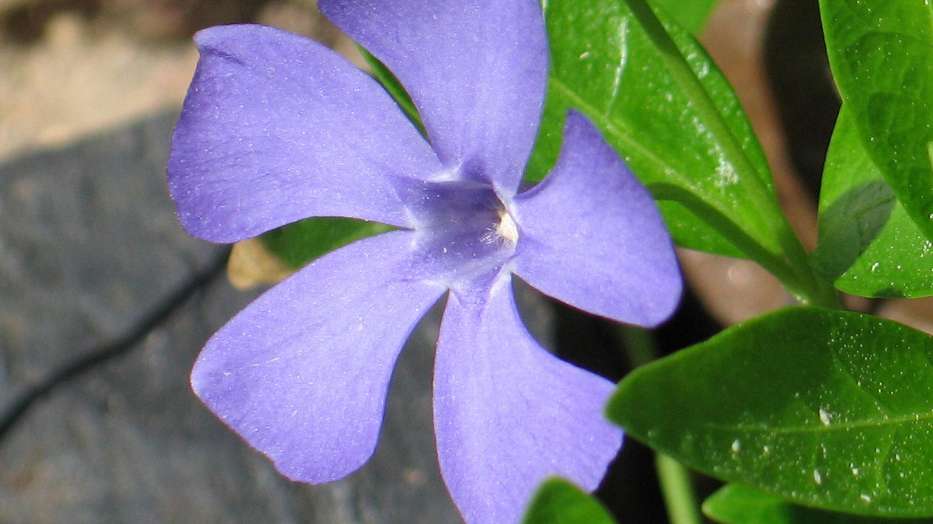 реакция может описание и фото цветка барвинок этой