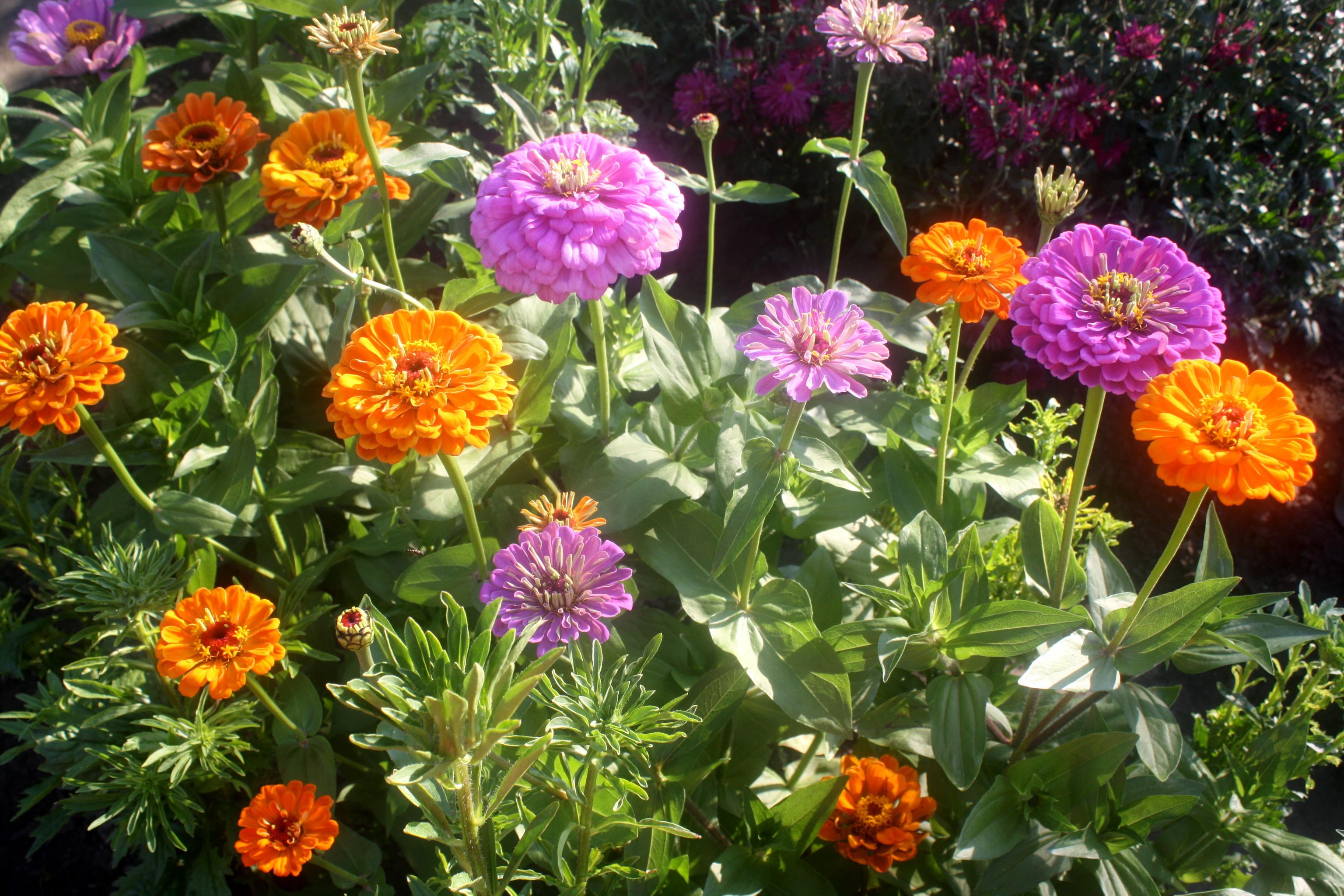 Цветы майоры посадка и уход