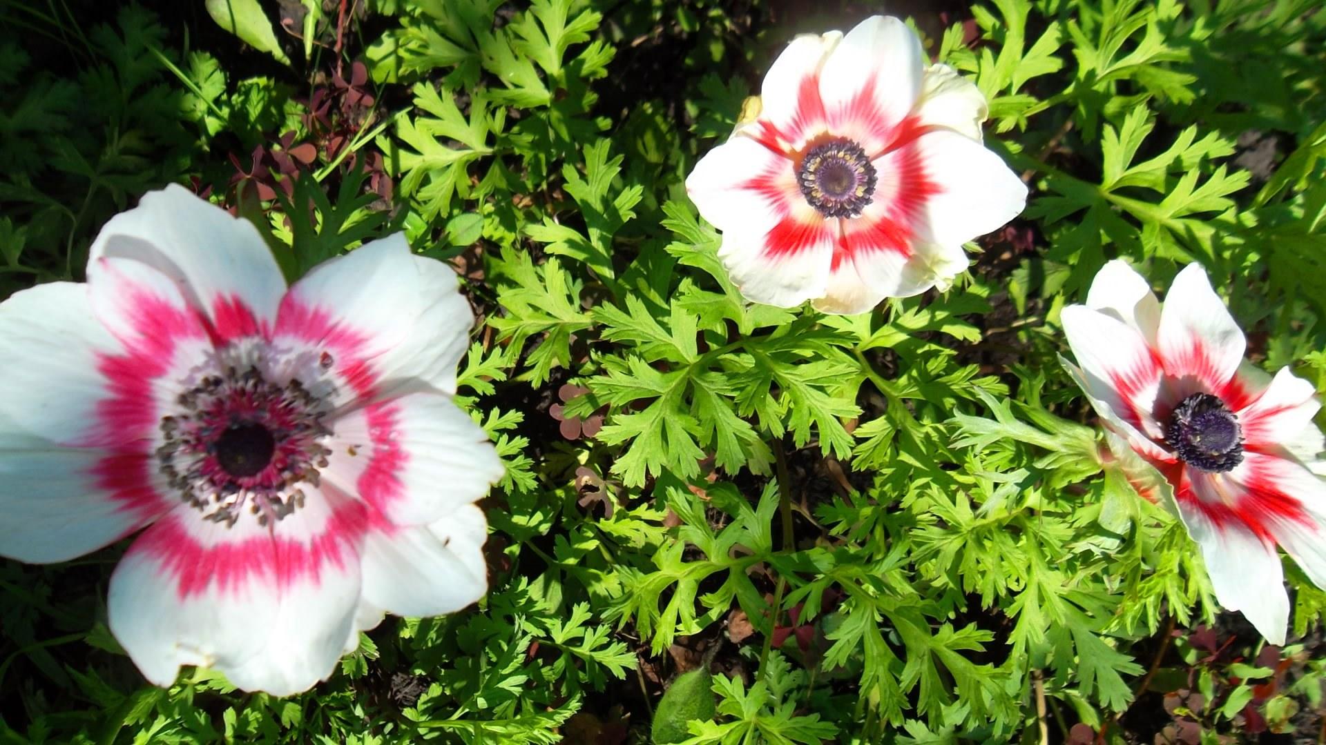 Цветы анемон посадка и уход