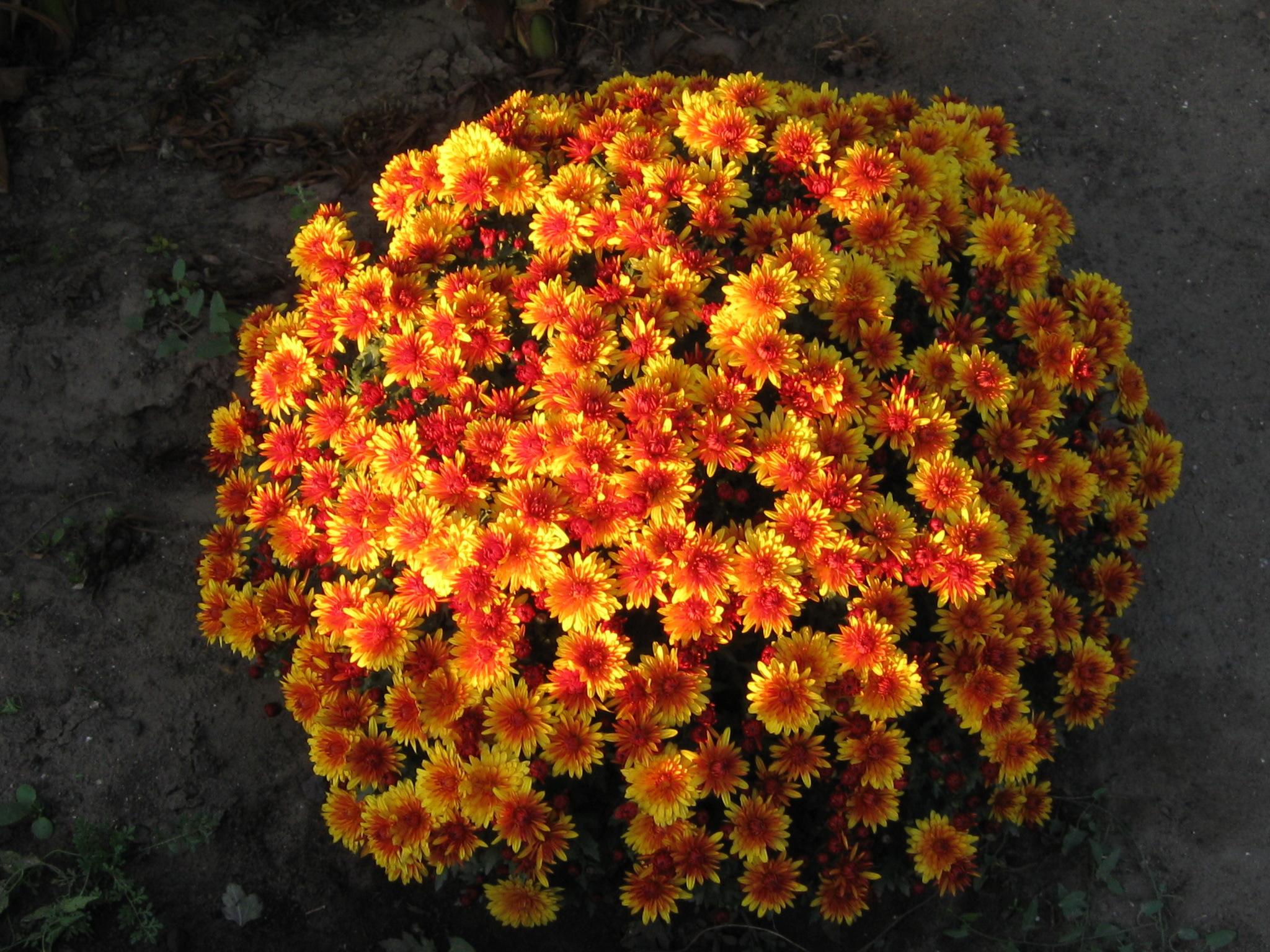 основания кусты хризантем картинки данном разделе вашему