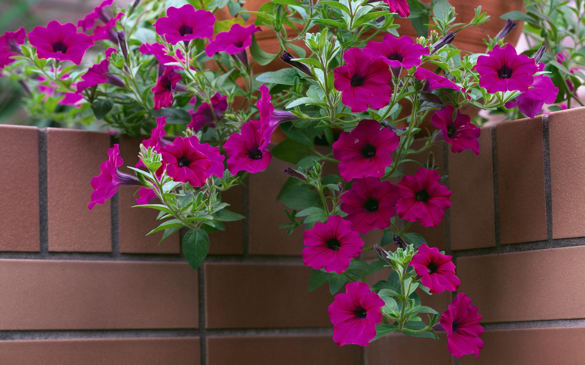 Beautiful flowers of petunia in the park wallpapers and images beautiful flowers of petunia in the park wallpapers and images wallpapers pictures photos izmirmasajfo