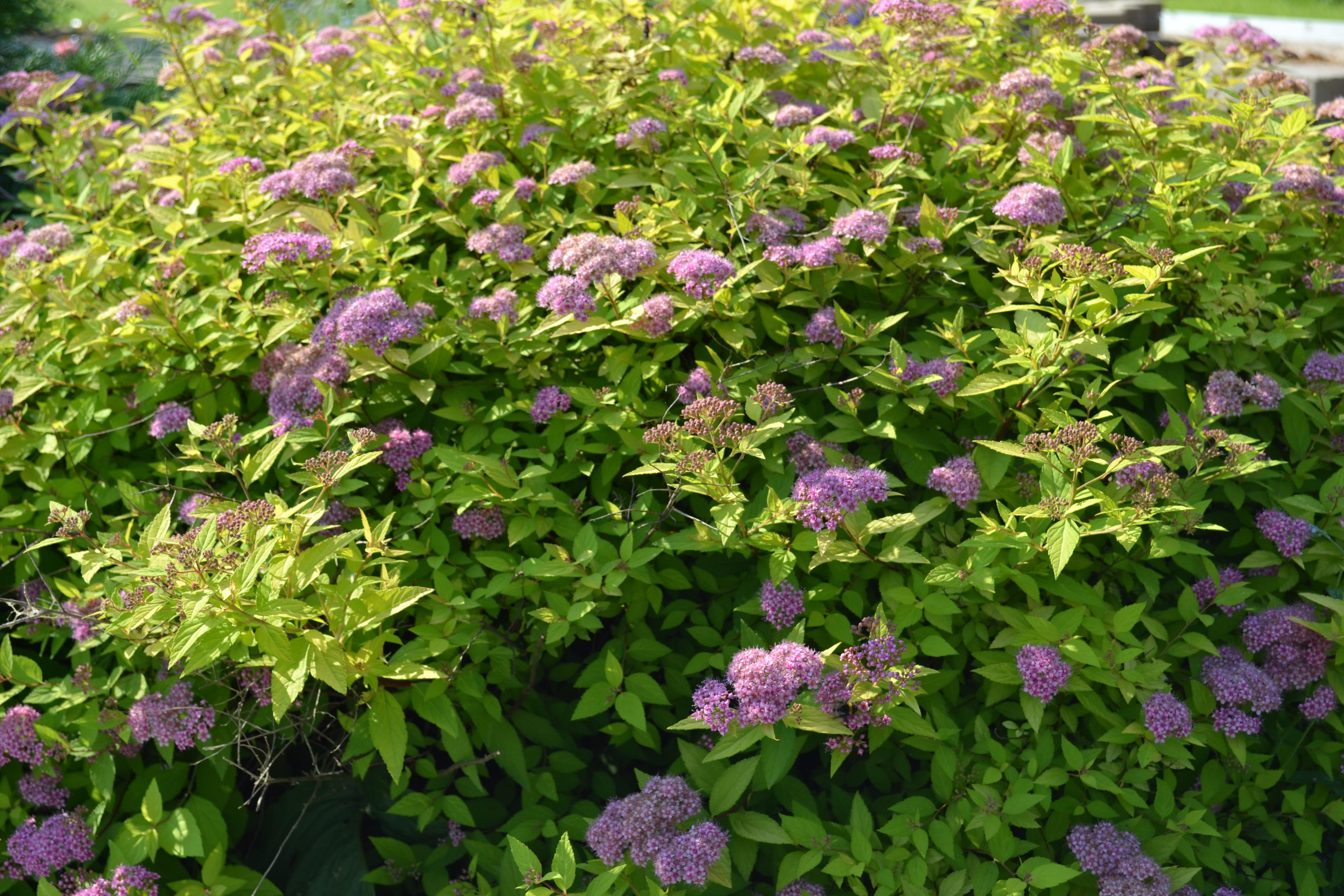 Zastaki.com - Красивые цветы спирея на поляне