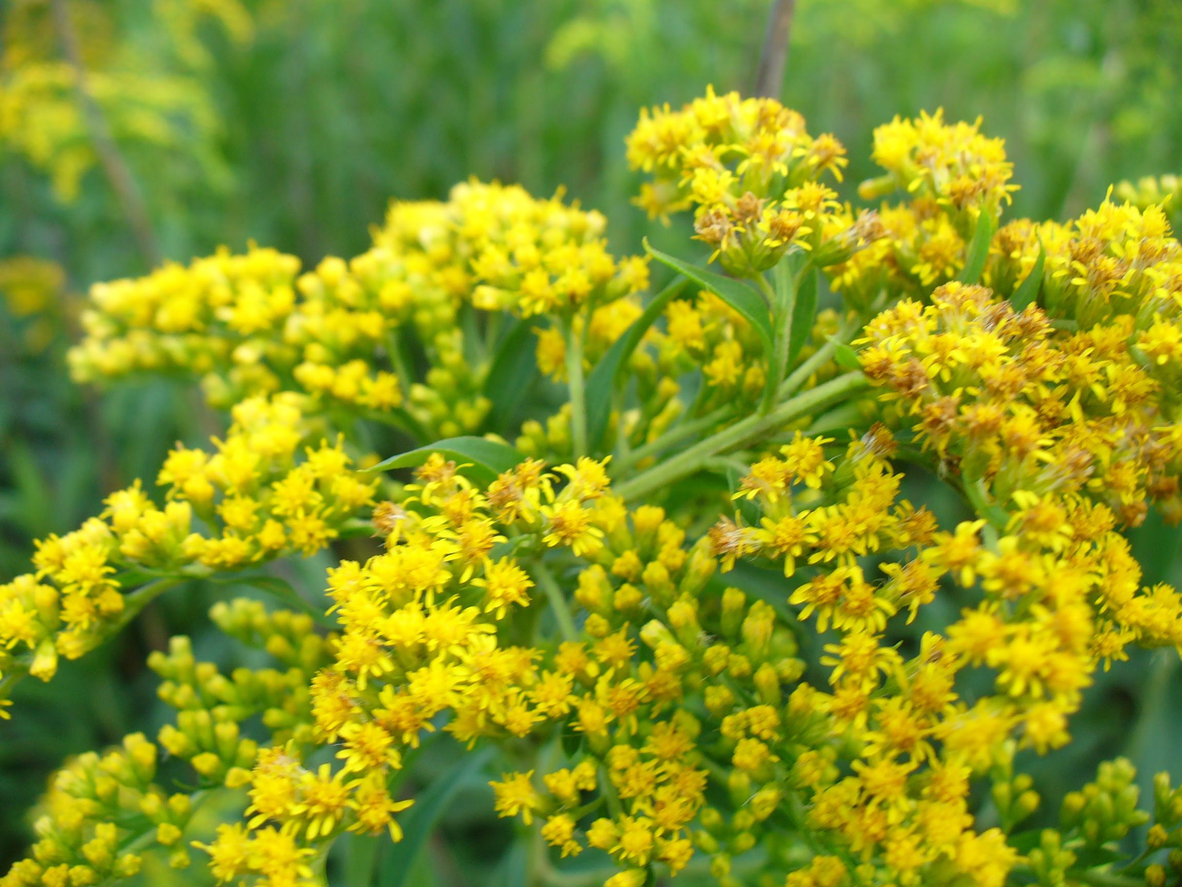 комплекты желтые соцветия у полевой травы фото коллегамфлористам