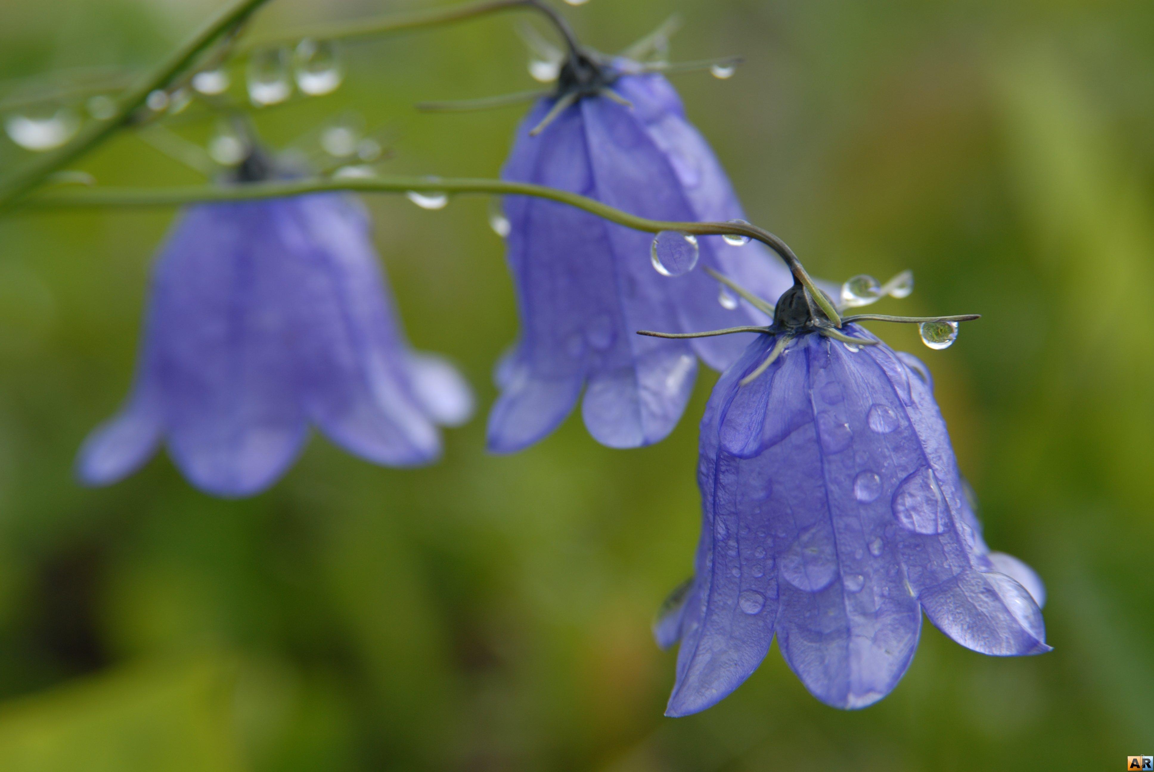 Колокольчики цветы картинки фото