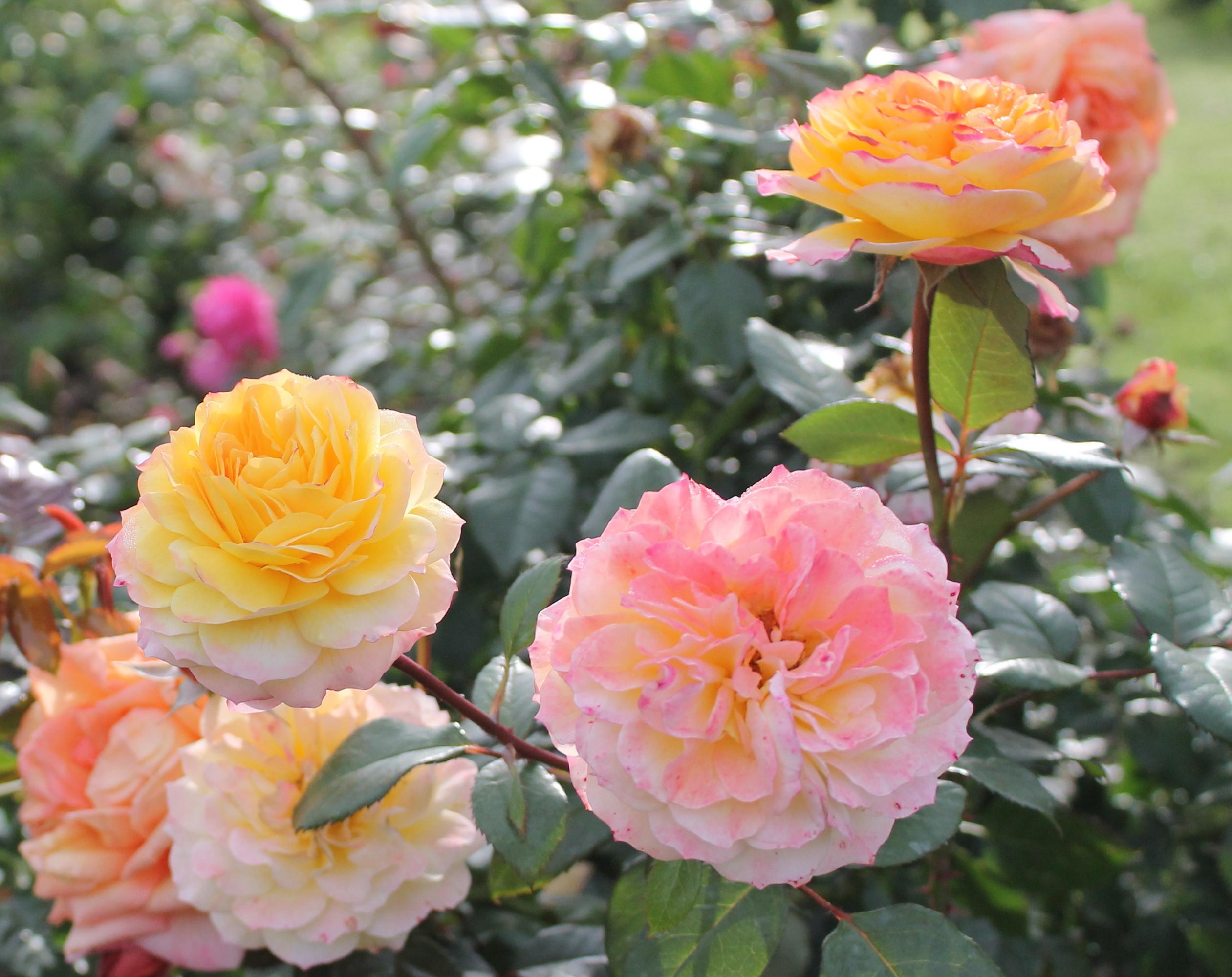 Beautiful Flower Rose Garden Related Keywords